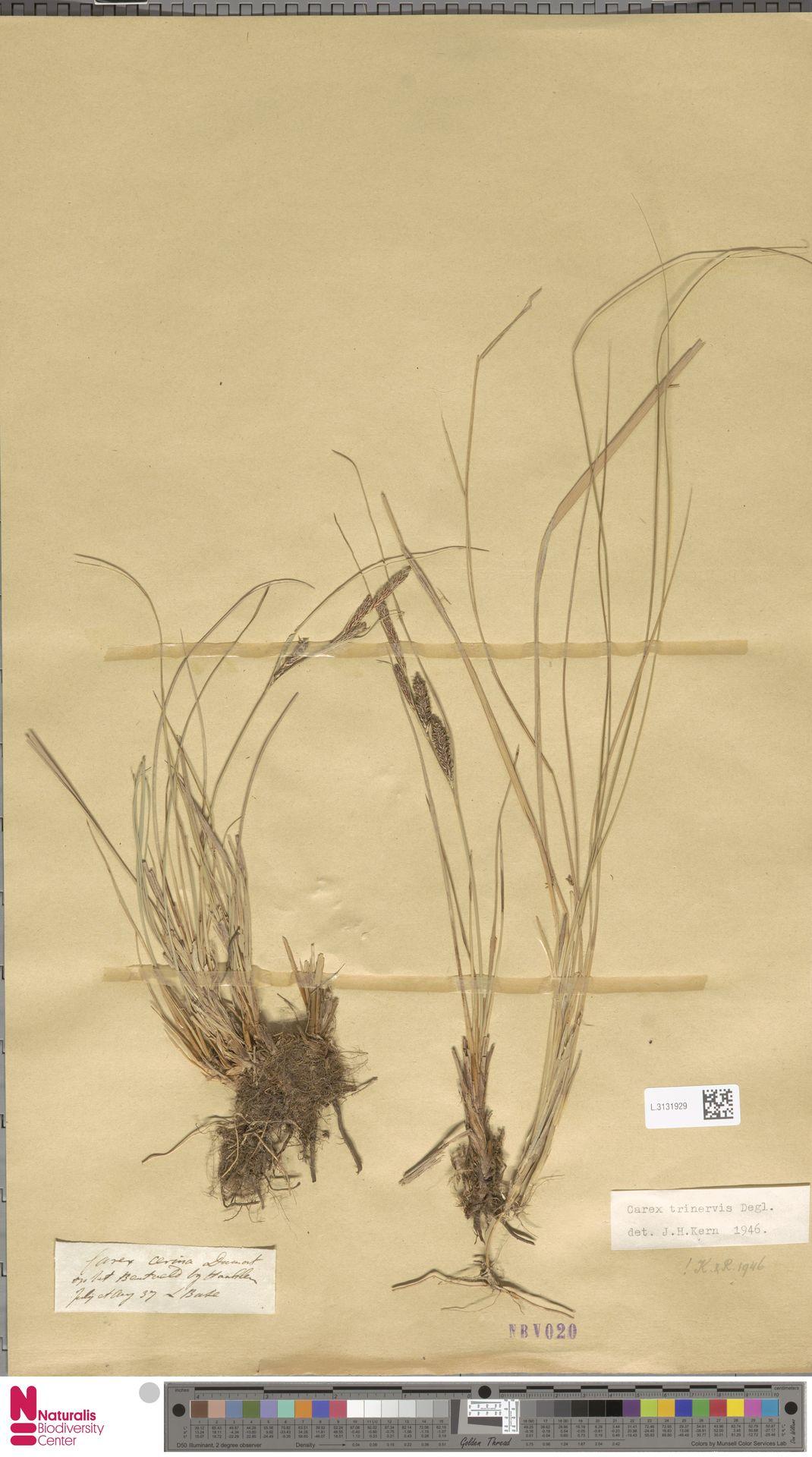 L.3131929 | Carex trinervis Degl.