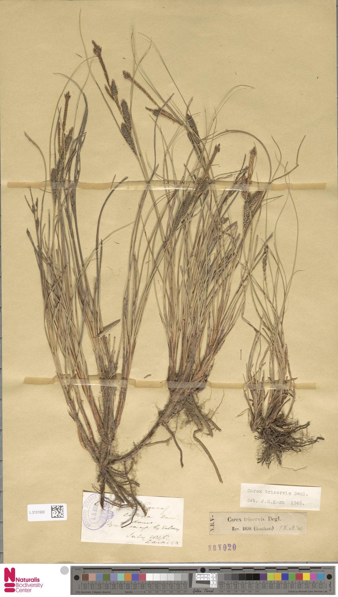 L.3131930 | Carex trinervis Degl.