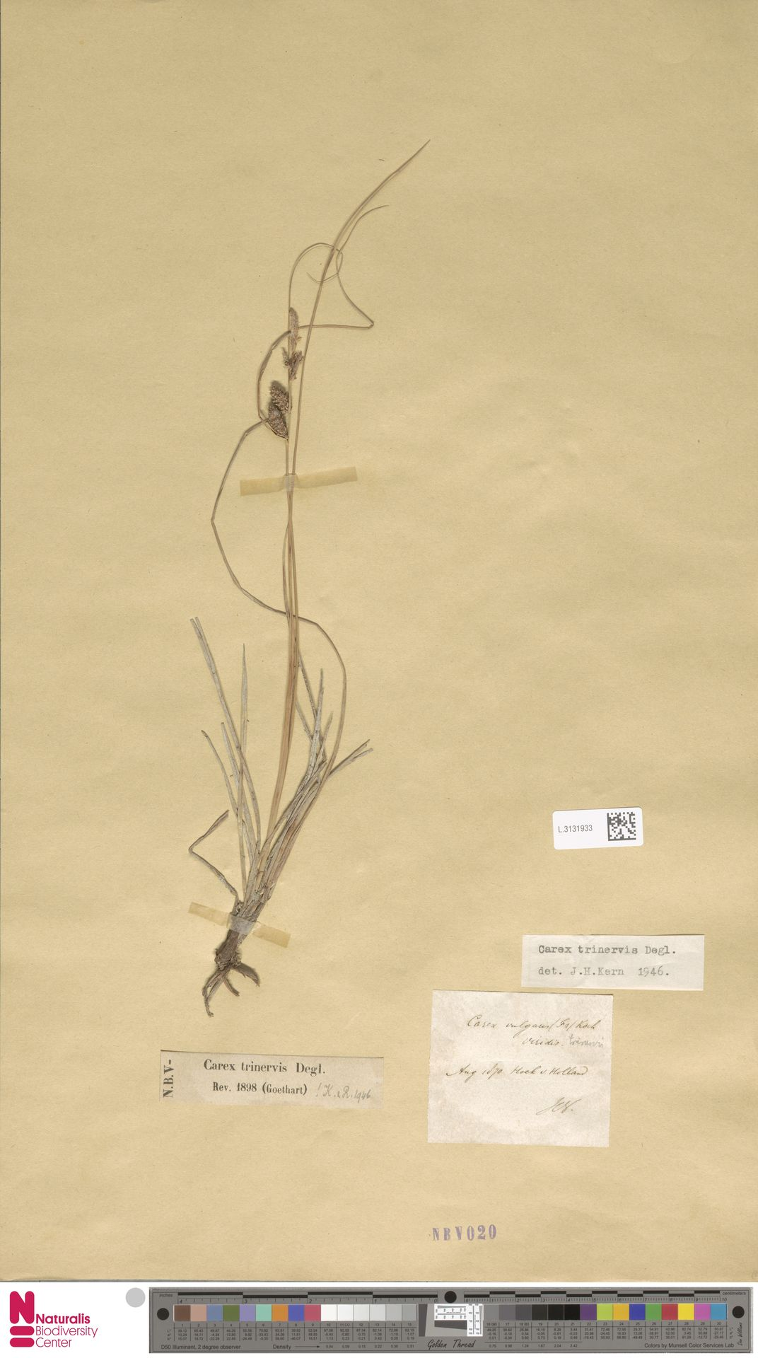 L.3131933 | Carex trinervis Degl.