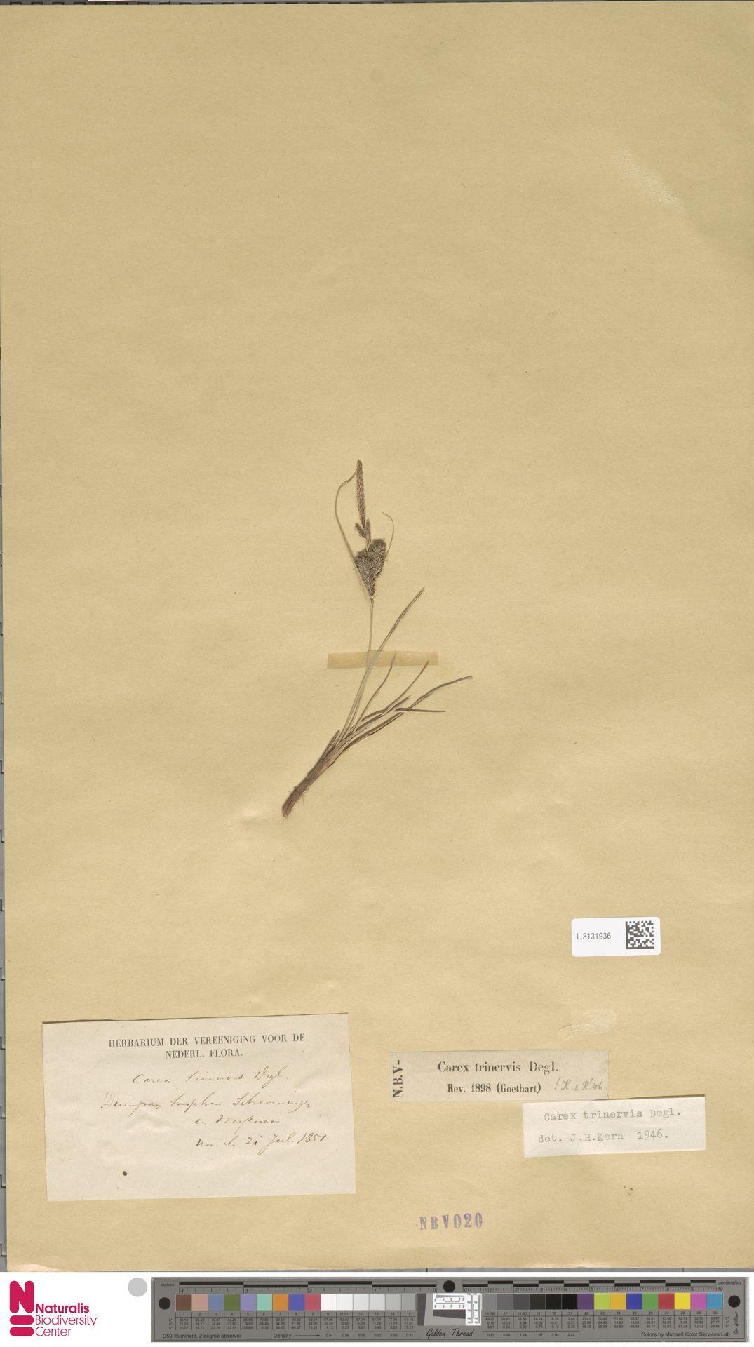 L.3131936   Carex trinervis Degl.