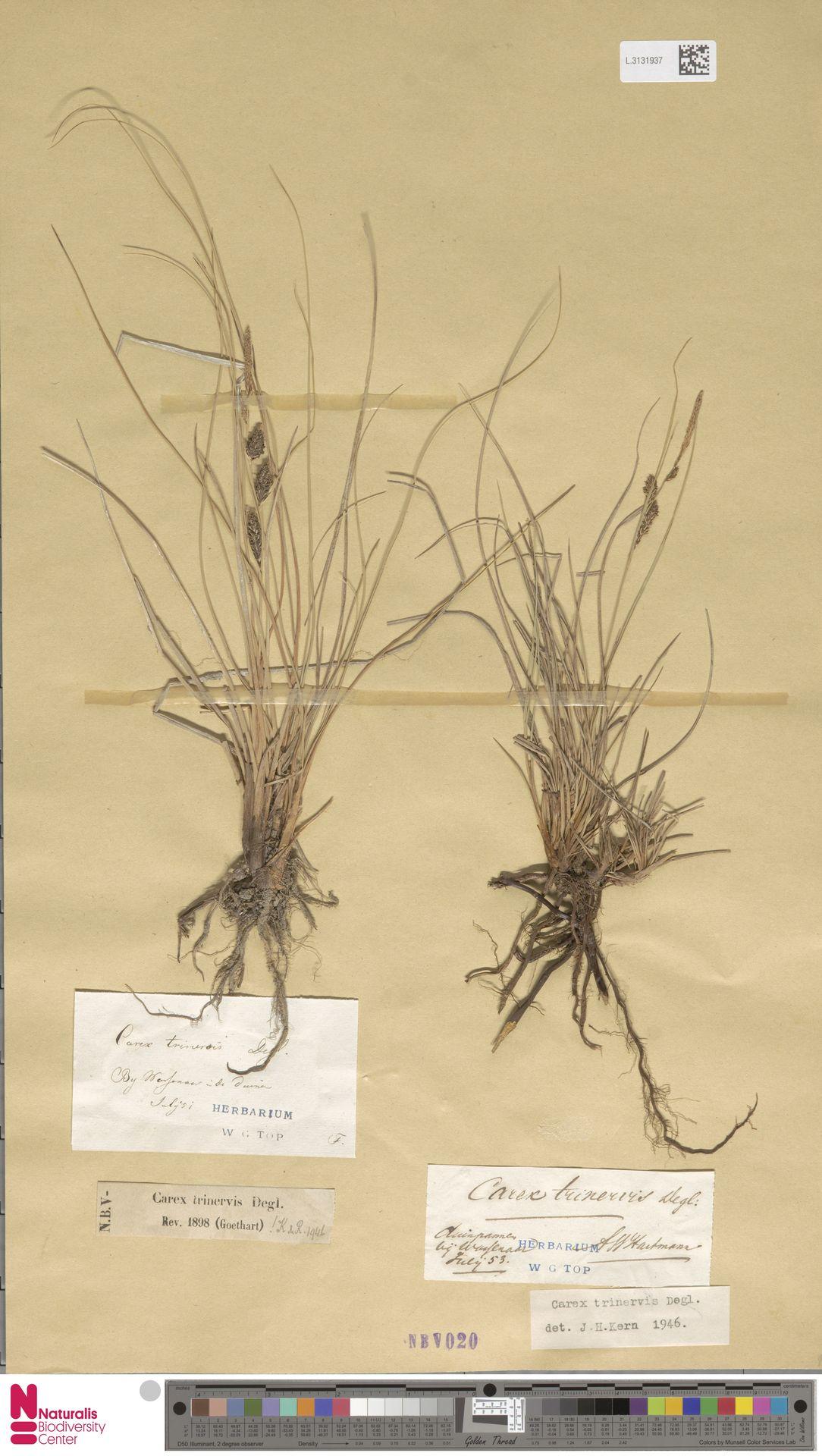 L.3131937 | Carex trinervis Degl.