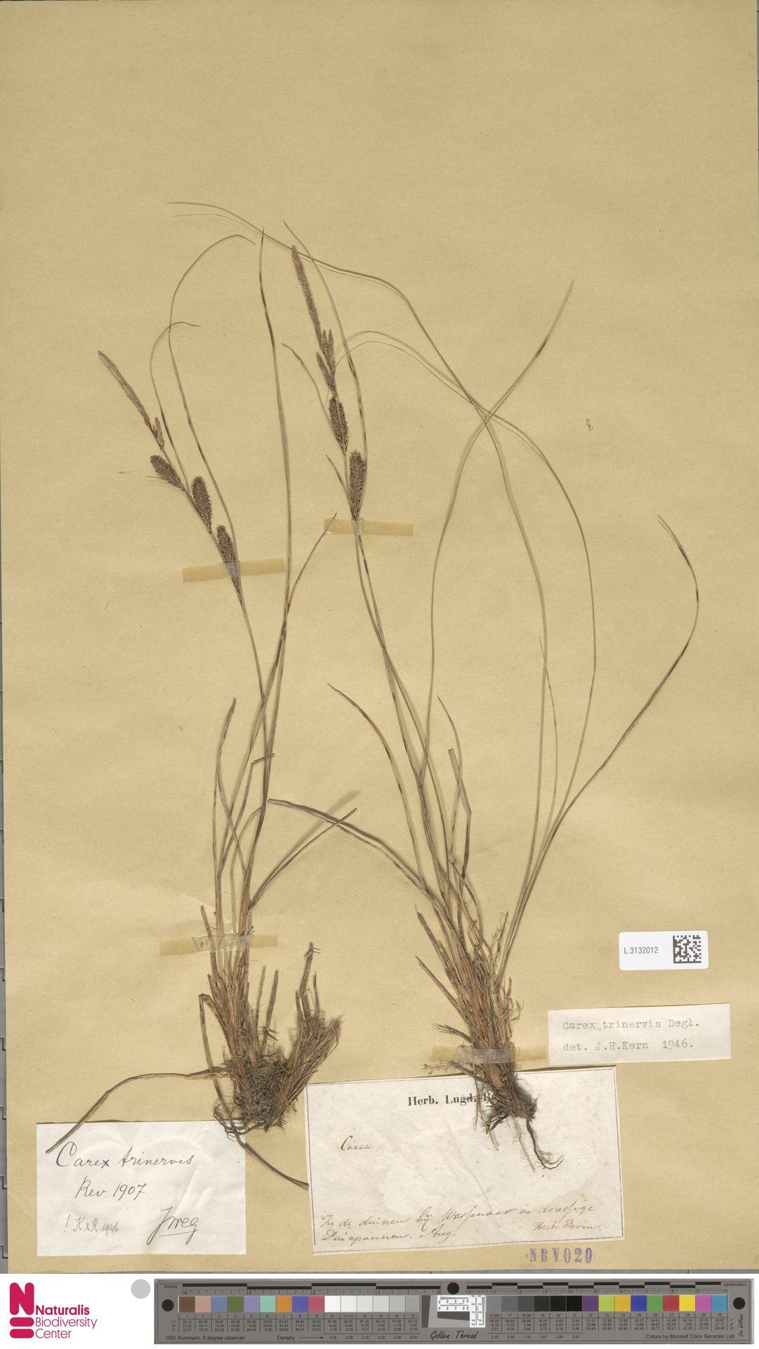 L.3132012   Carex trinervis Degl.