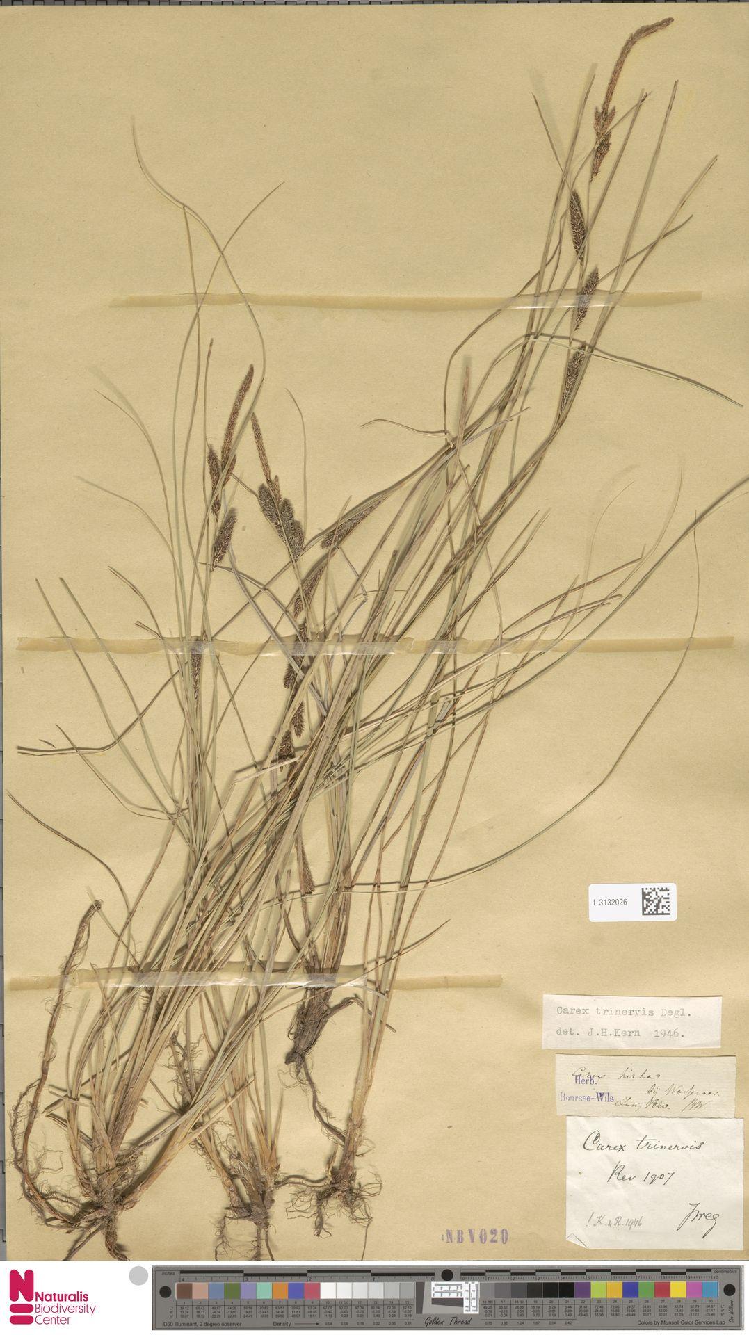 L.3132026 | Carex trinervis Degl.