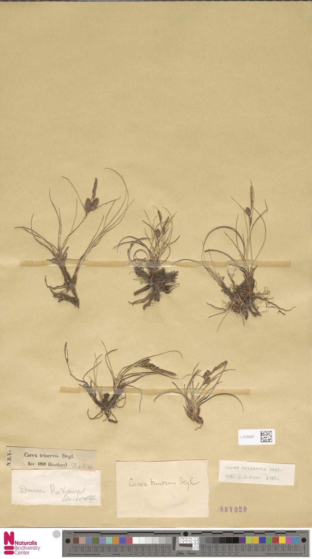 L.3132037 | Carex trinervis Degl.