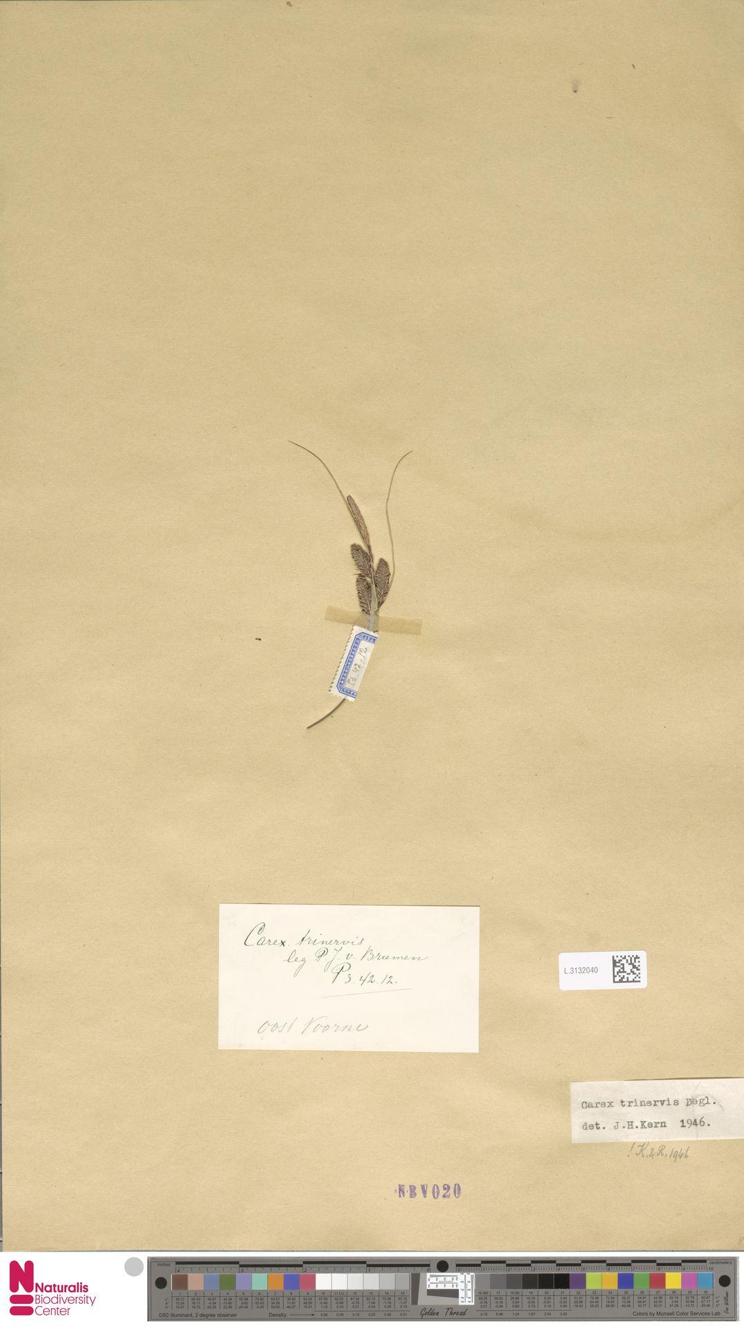 L.3132040   Carex trinervis Degl.