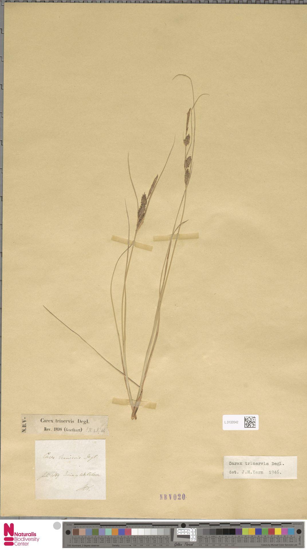 L.3132042 | Carex trinervis Degl.