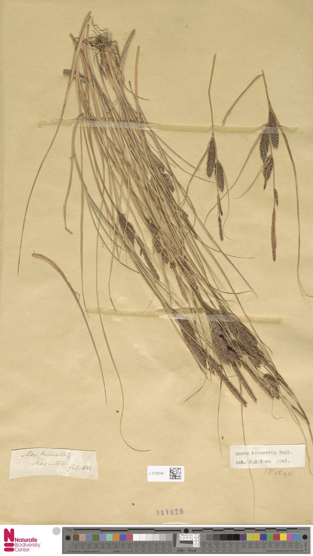 L.3132046 | Carex trinervis Degl.