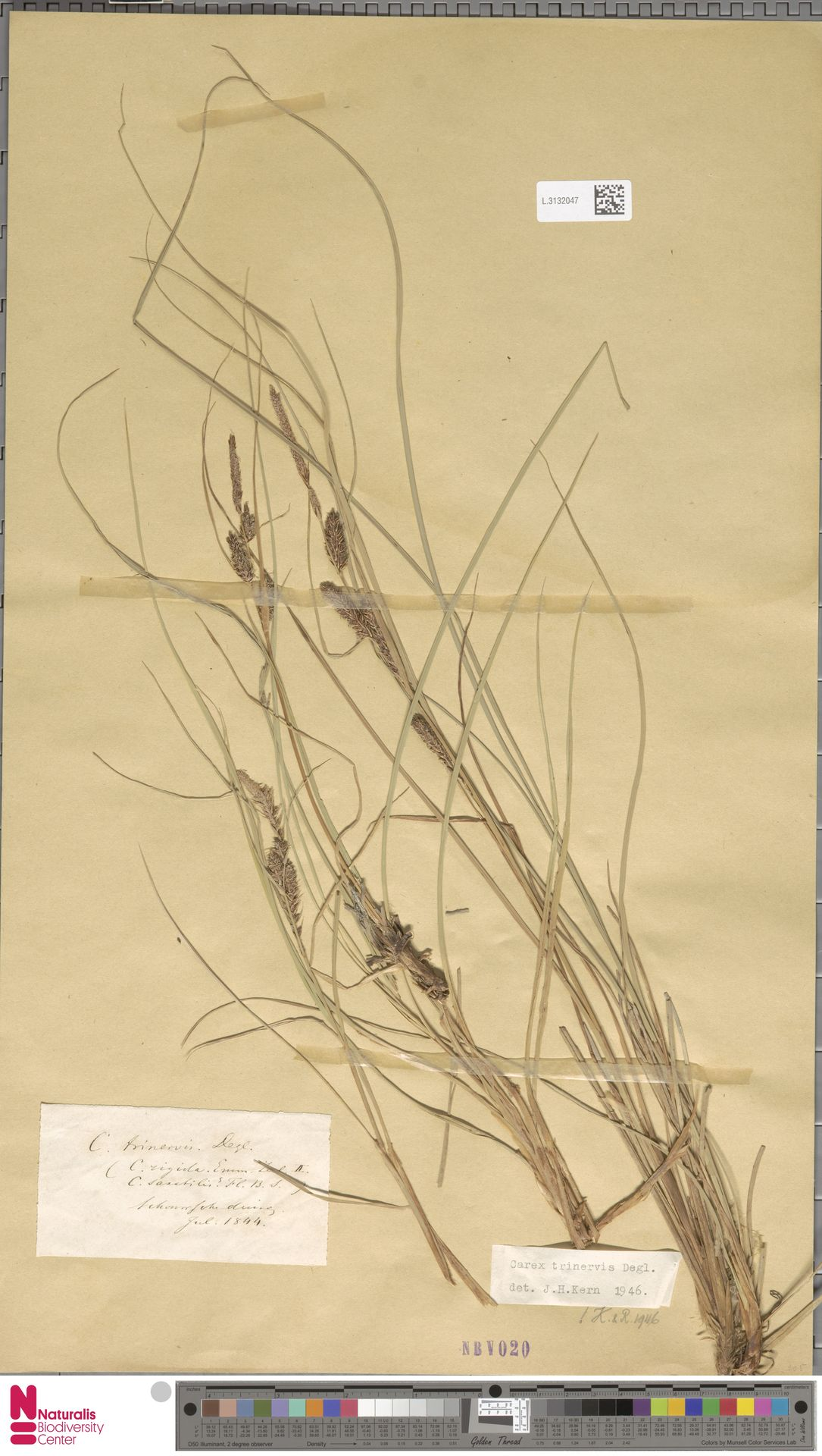 L.3132047   Carex trinervis Degl.