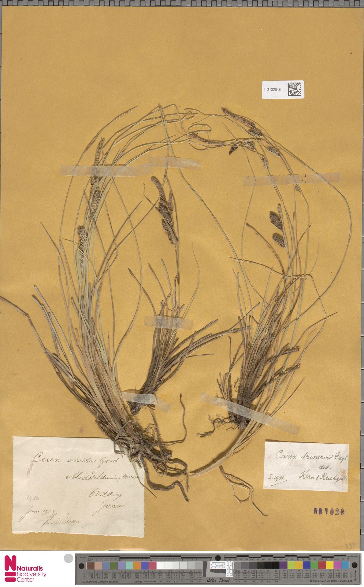 L.3132048 | Carex trinervis Degl.