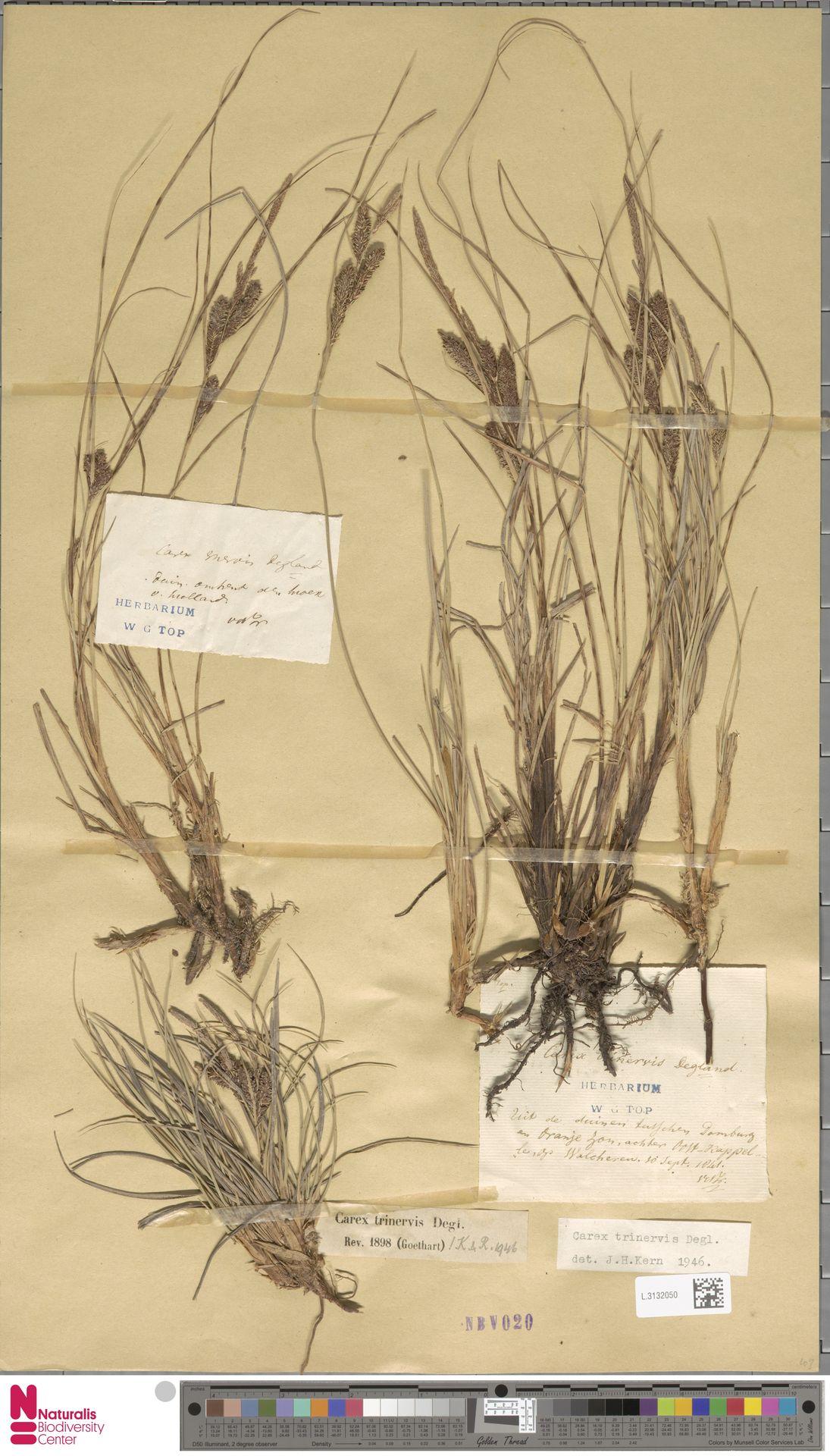 L.3132050   Carex trinervis Degl.