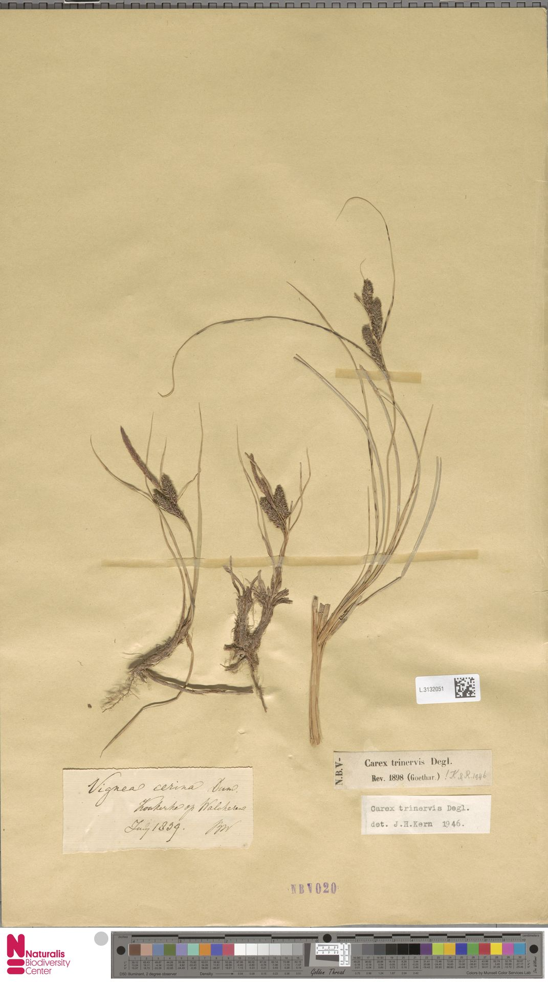L.3132051   Carex trinervis Degl.