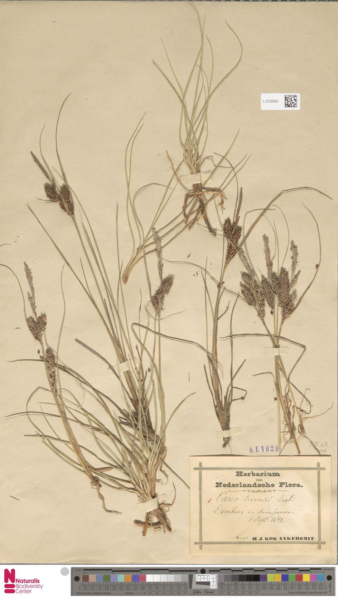 L.3132055 | Carex trinervis Degl.