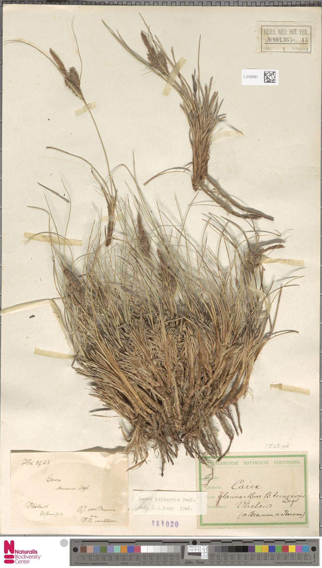 L.3132061 | Carex trinervis Degl.