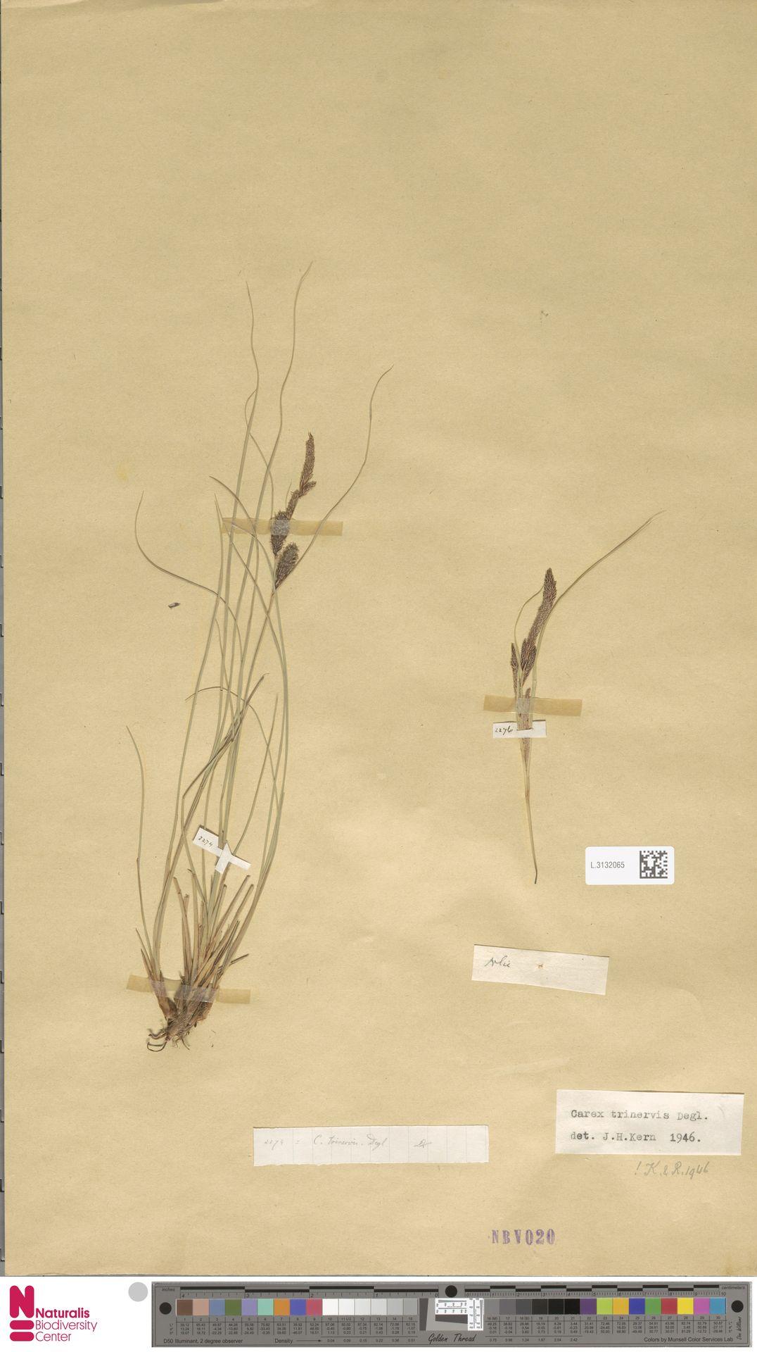 L.3132065 | Carex trinervis Degl.