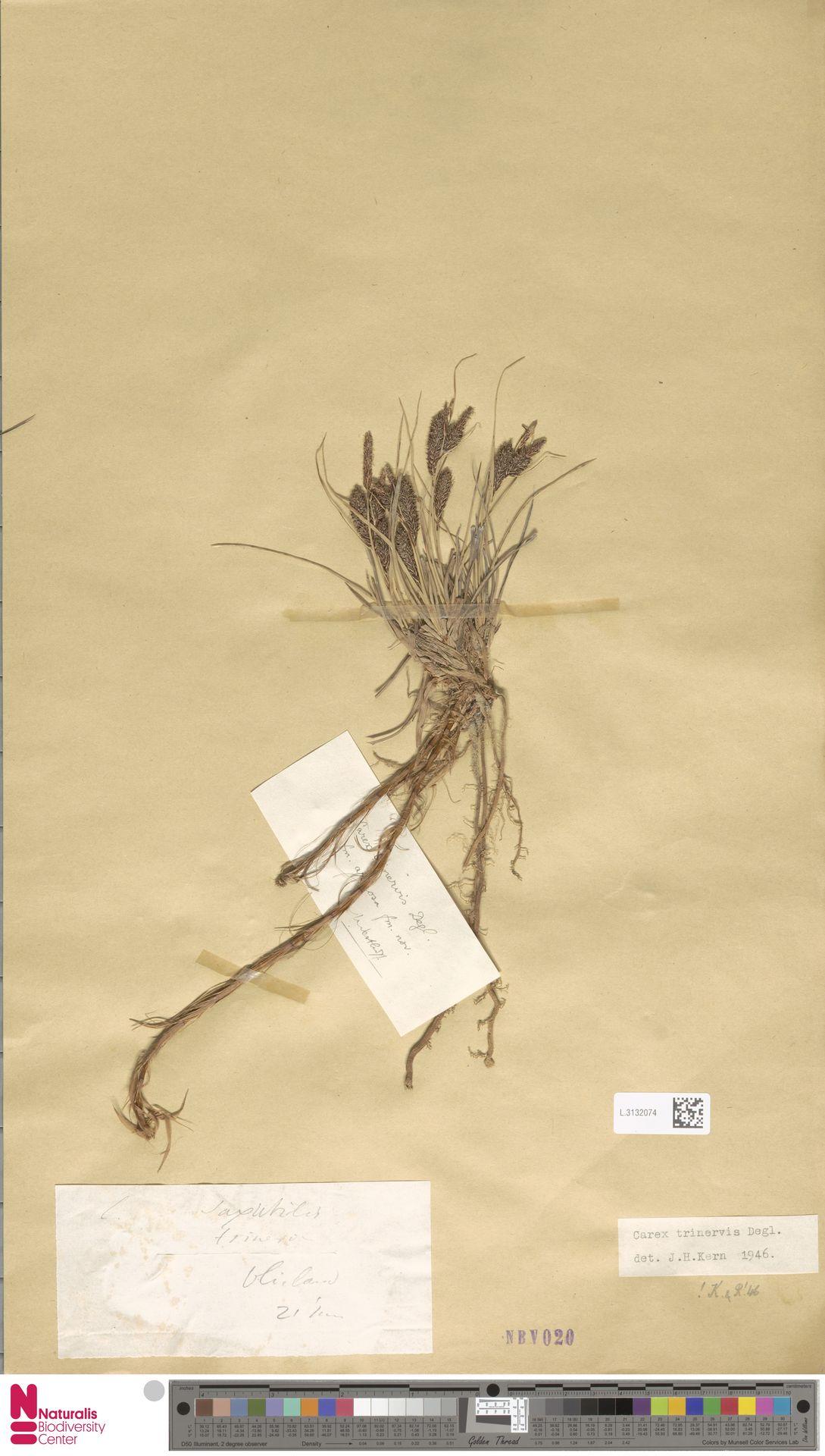 L.3132074 | Carex trinervis Degl.