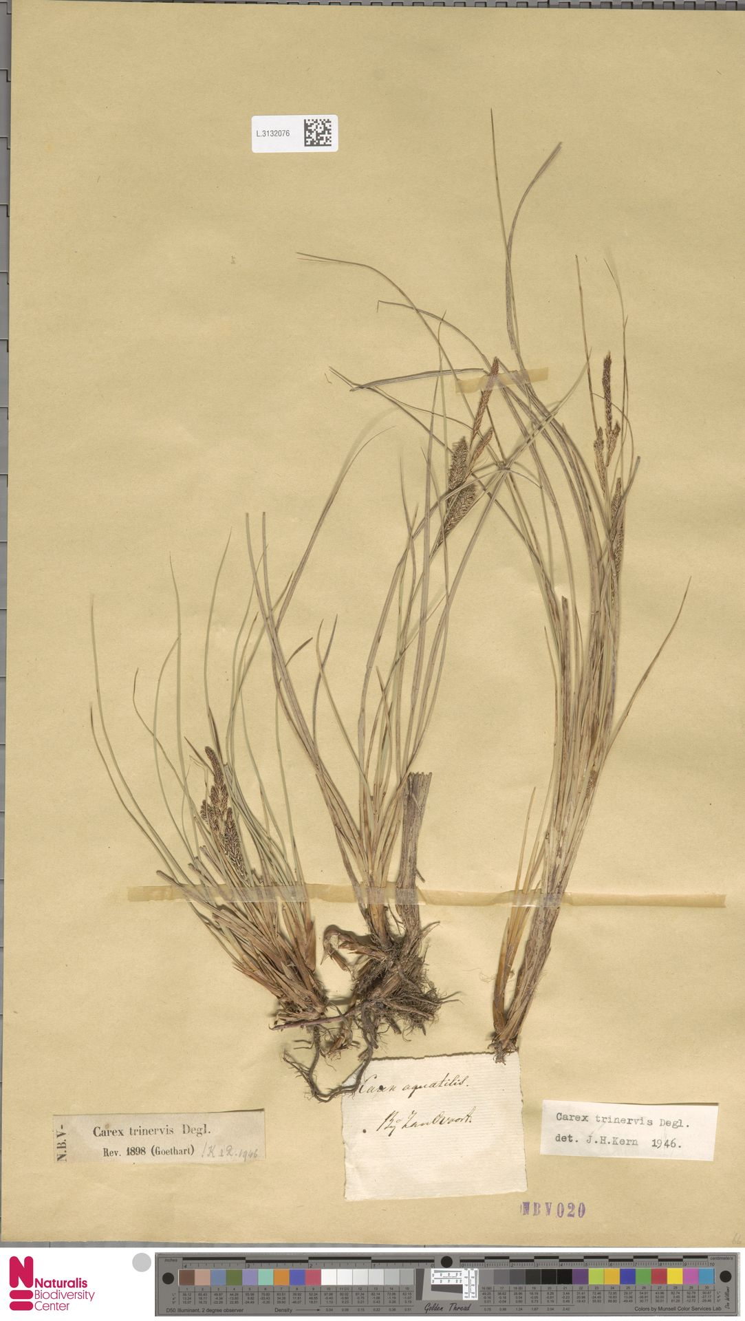 L.3132076   Carex trinervis Degl.