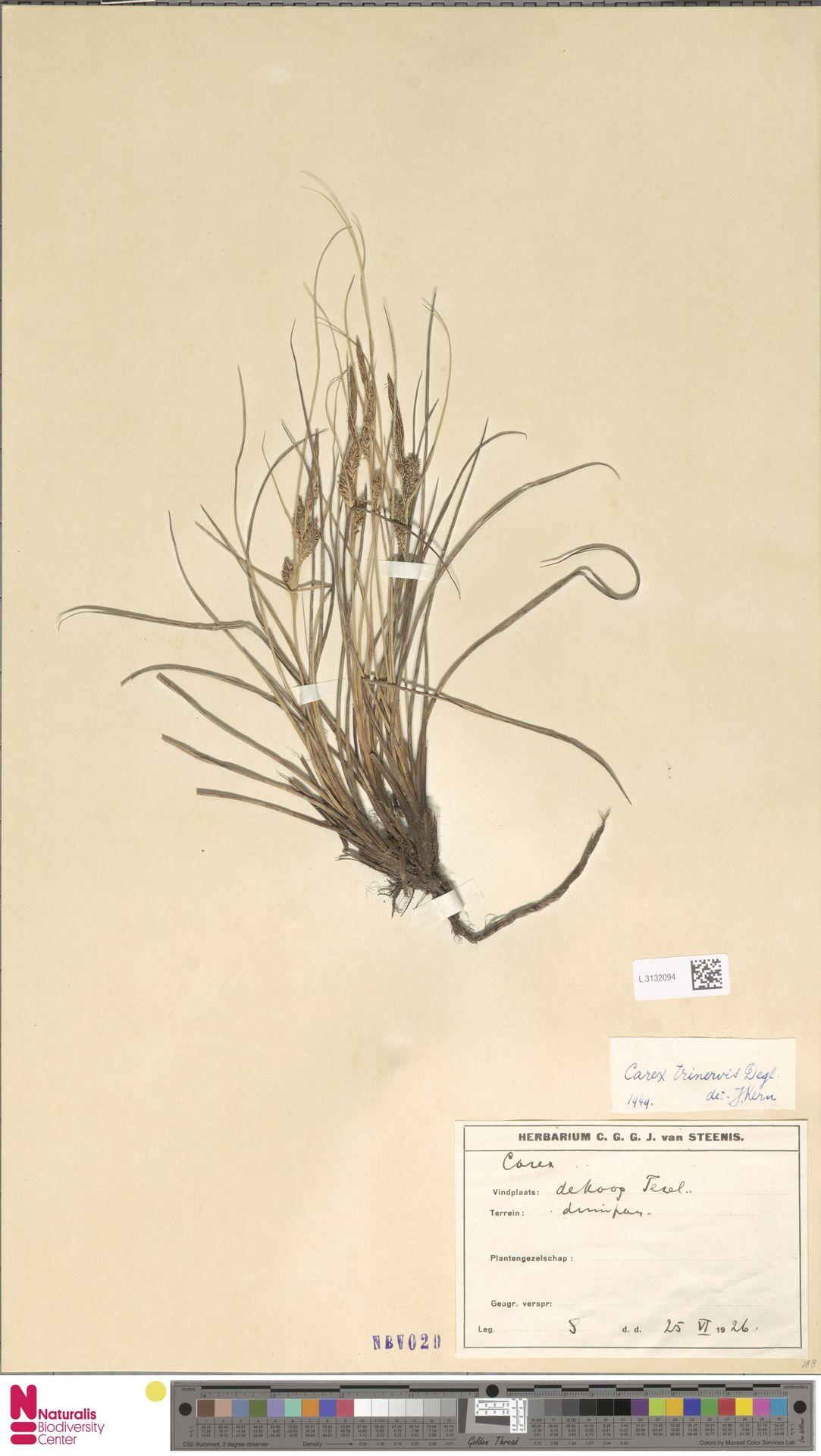 L.3132094 | Carex trinervis Degl.