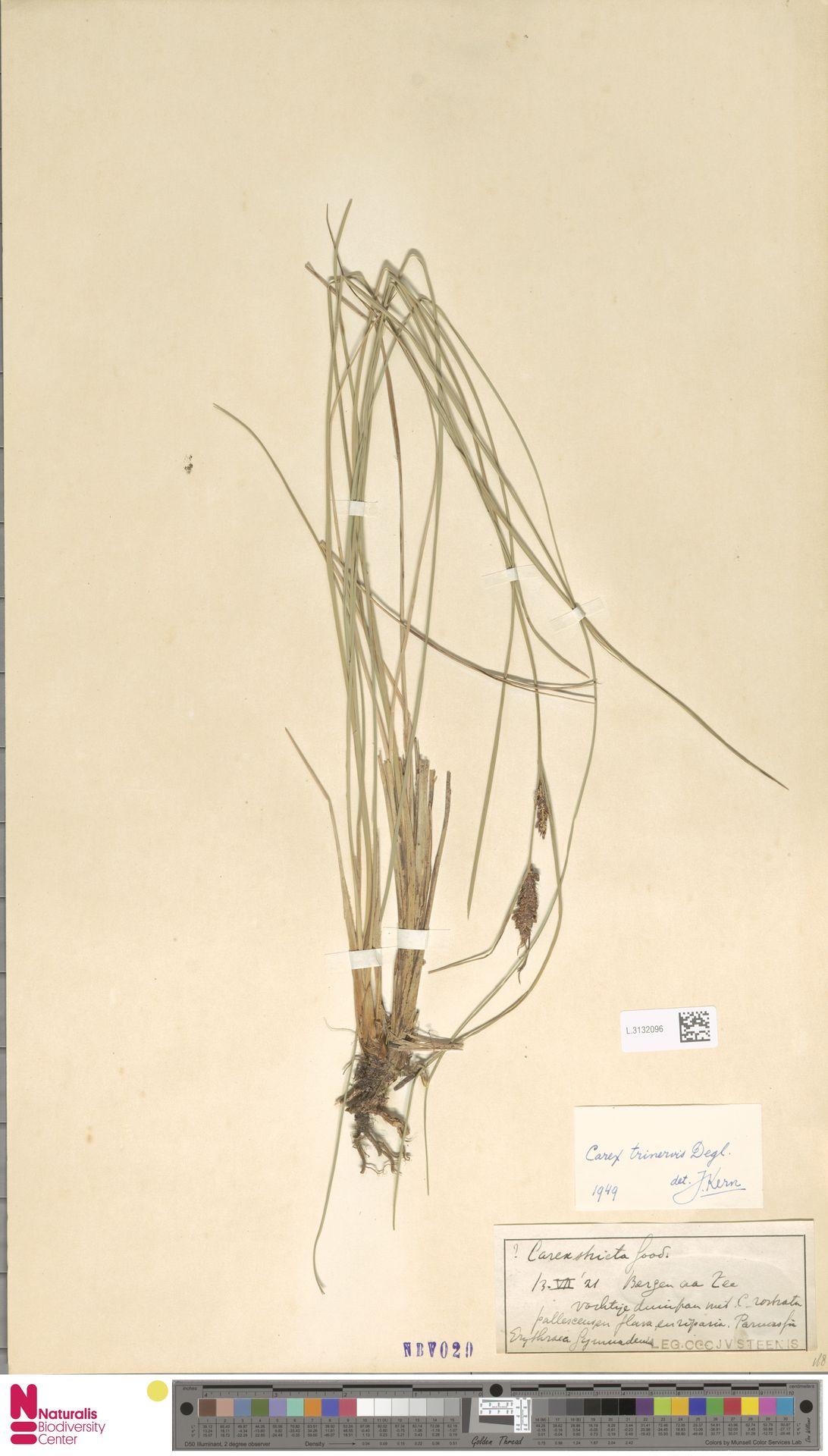 L.3132096 | Carex trinervis Degl.