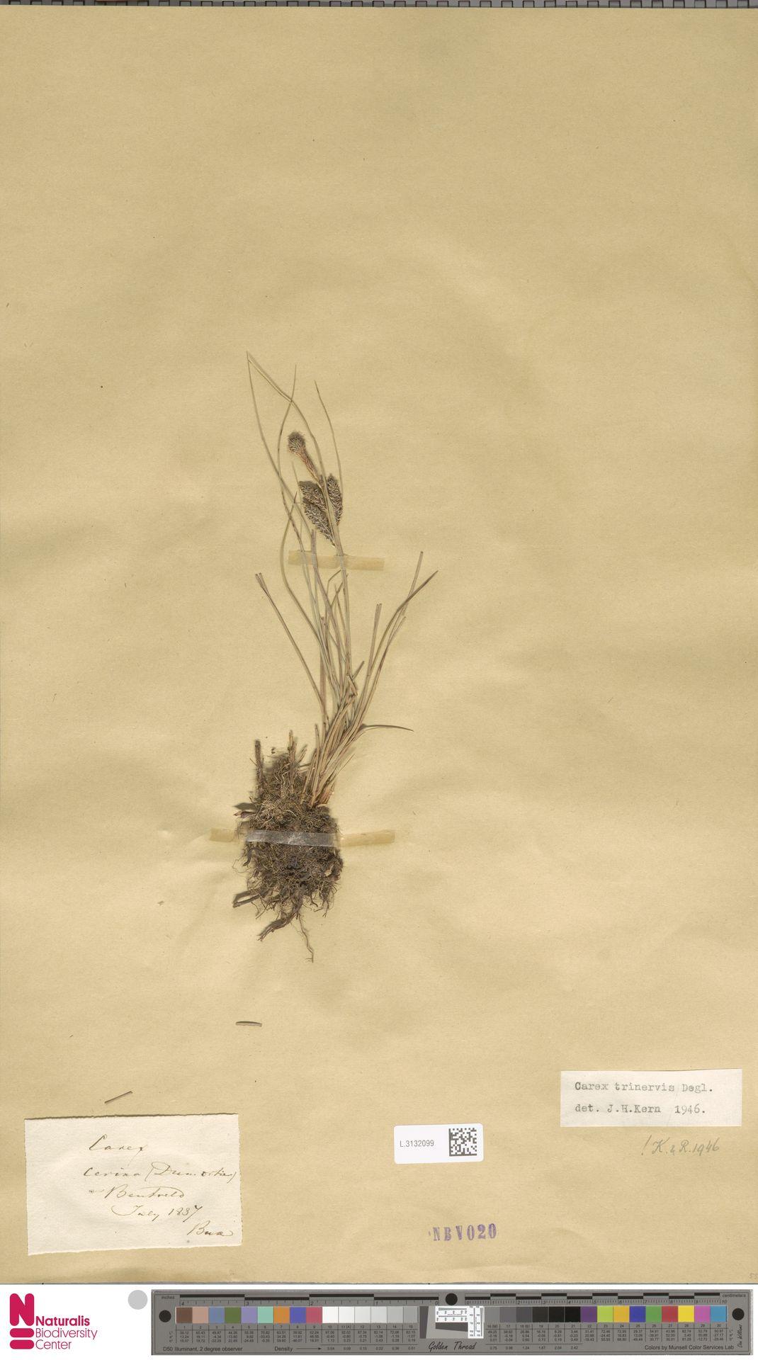 L.3132099   Carex trinervis Degl.