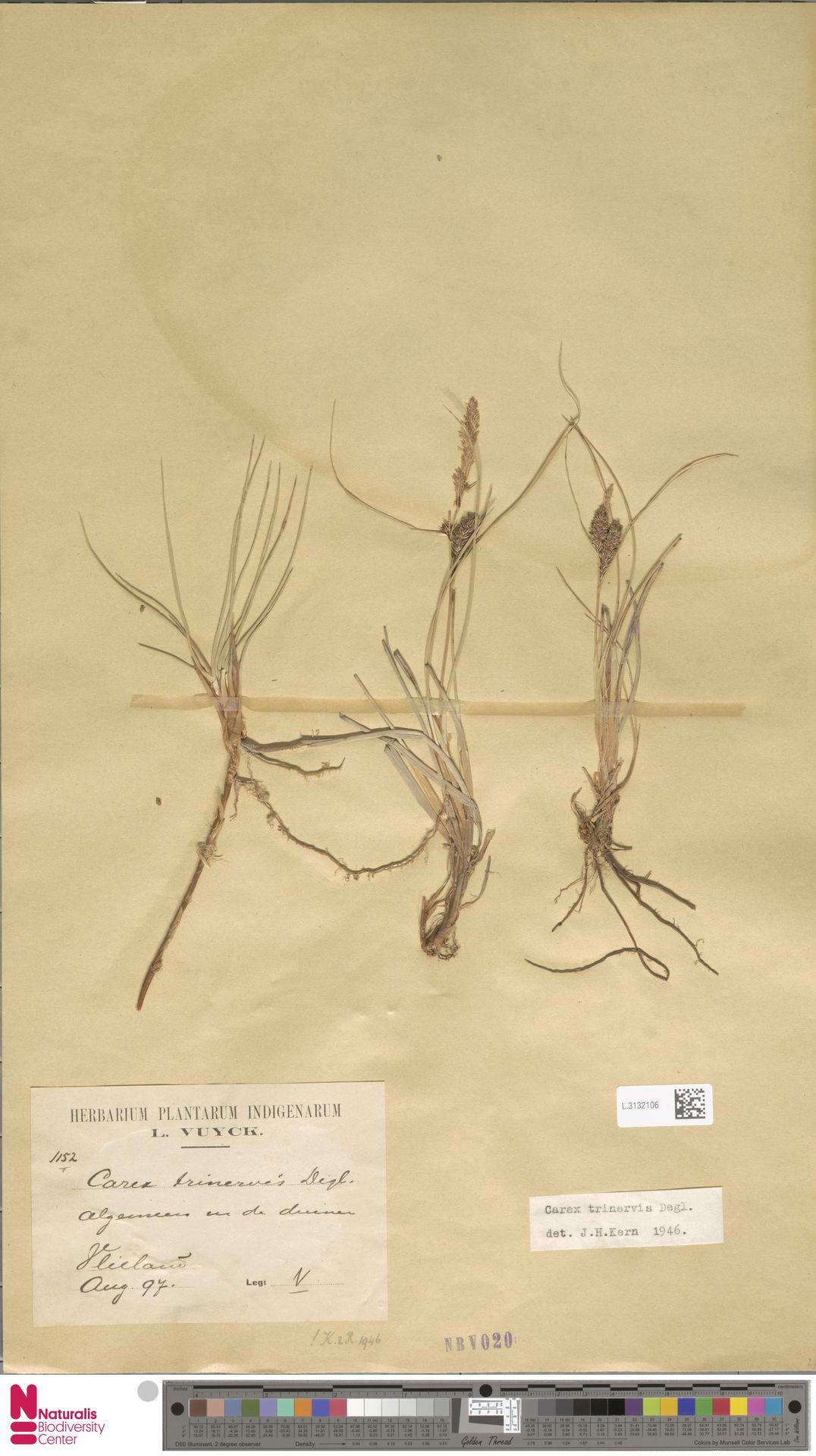 L.3132106 | Carex trinervis Degl.