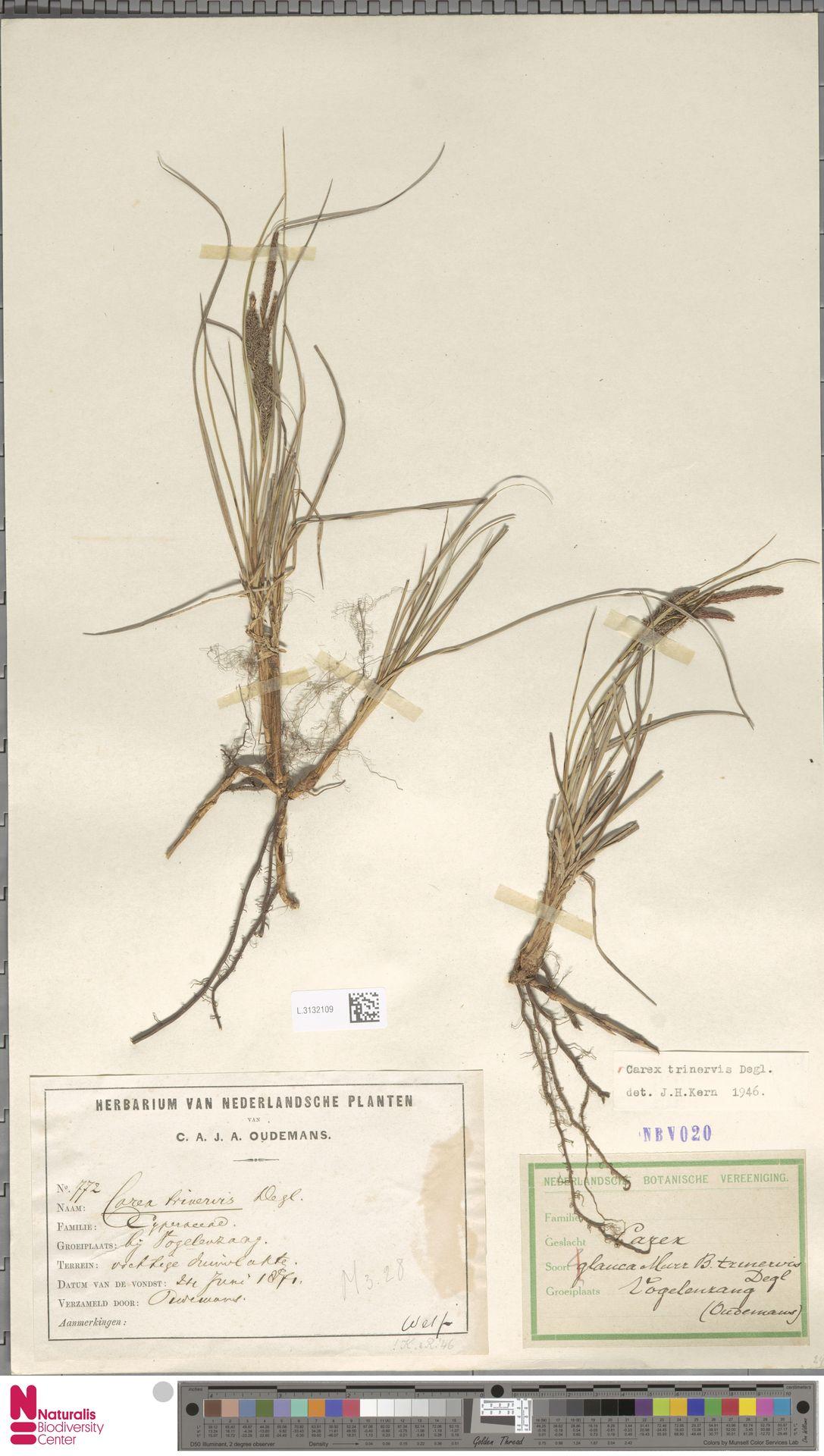 L.3132109 | Carex trinervis Degl.