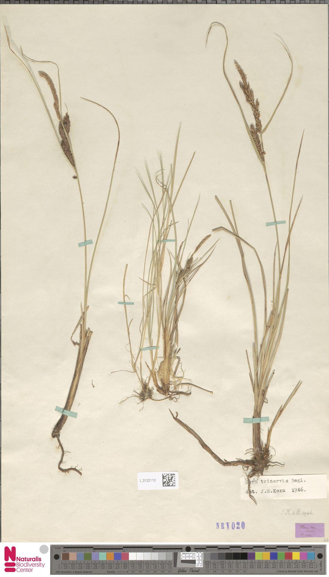 L.3132110 | Carex trinervis Degl.