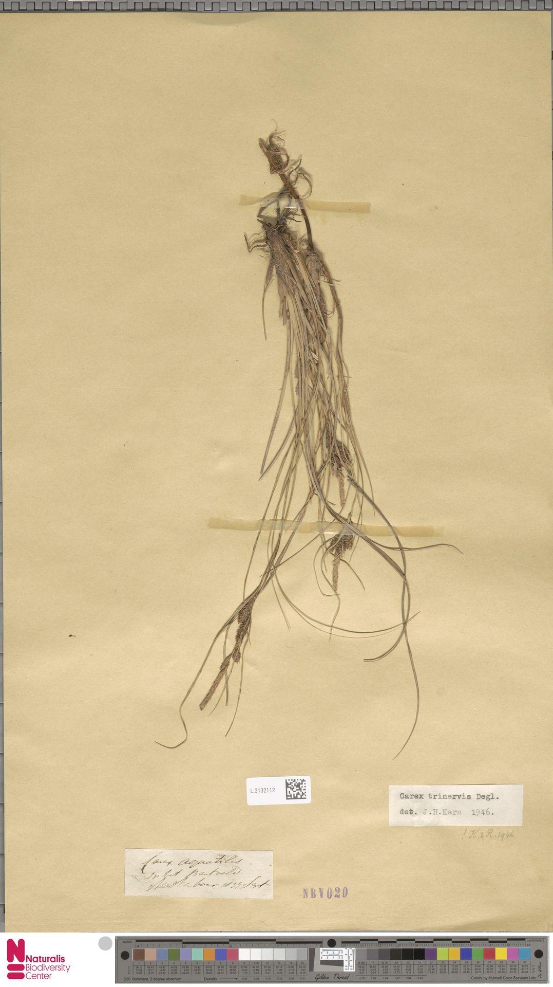 L.3132112 | Carex trinervis Degl.
