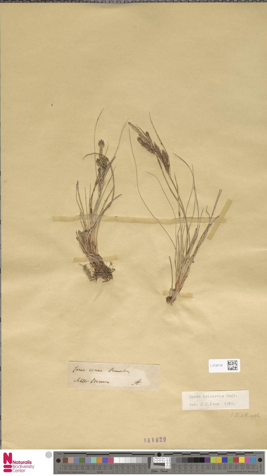 L.3132116 | Carex trinervis Degl.