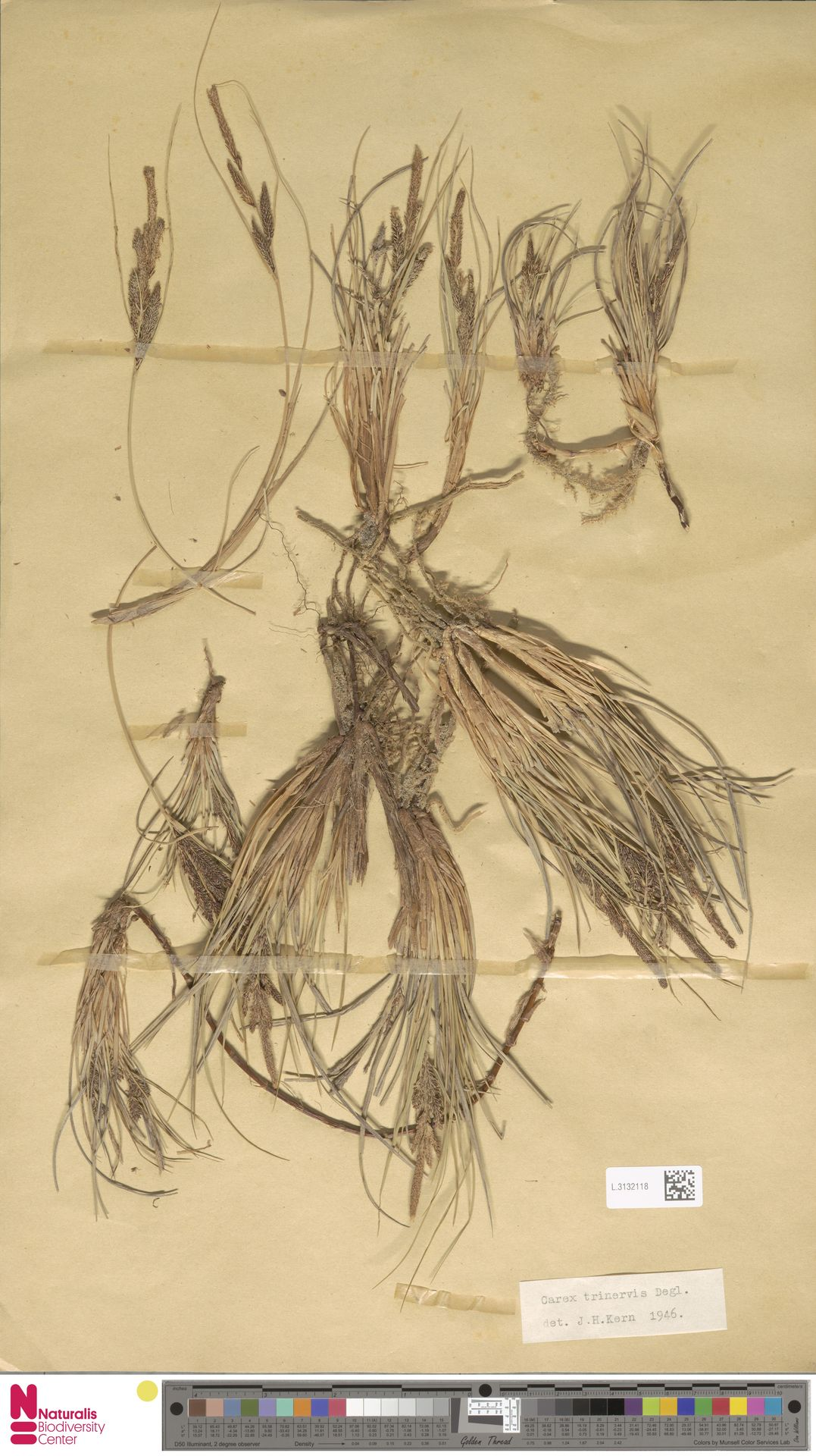 L.3132118 | Carex trinervis Degl.