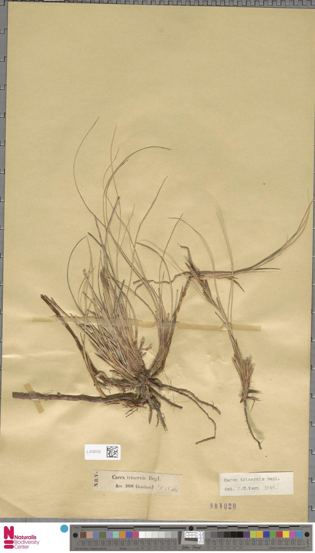 L.3132122 | Carex trinervis Degl.
