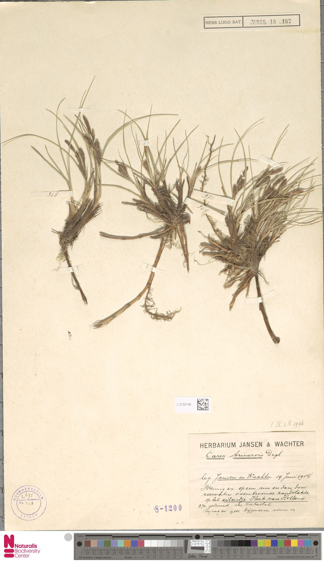 L.3132146 | Carex trinervis Degl.