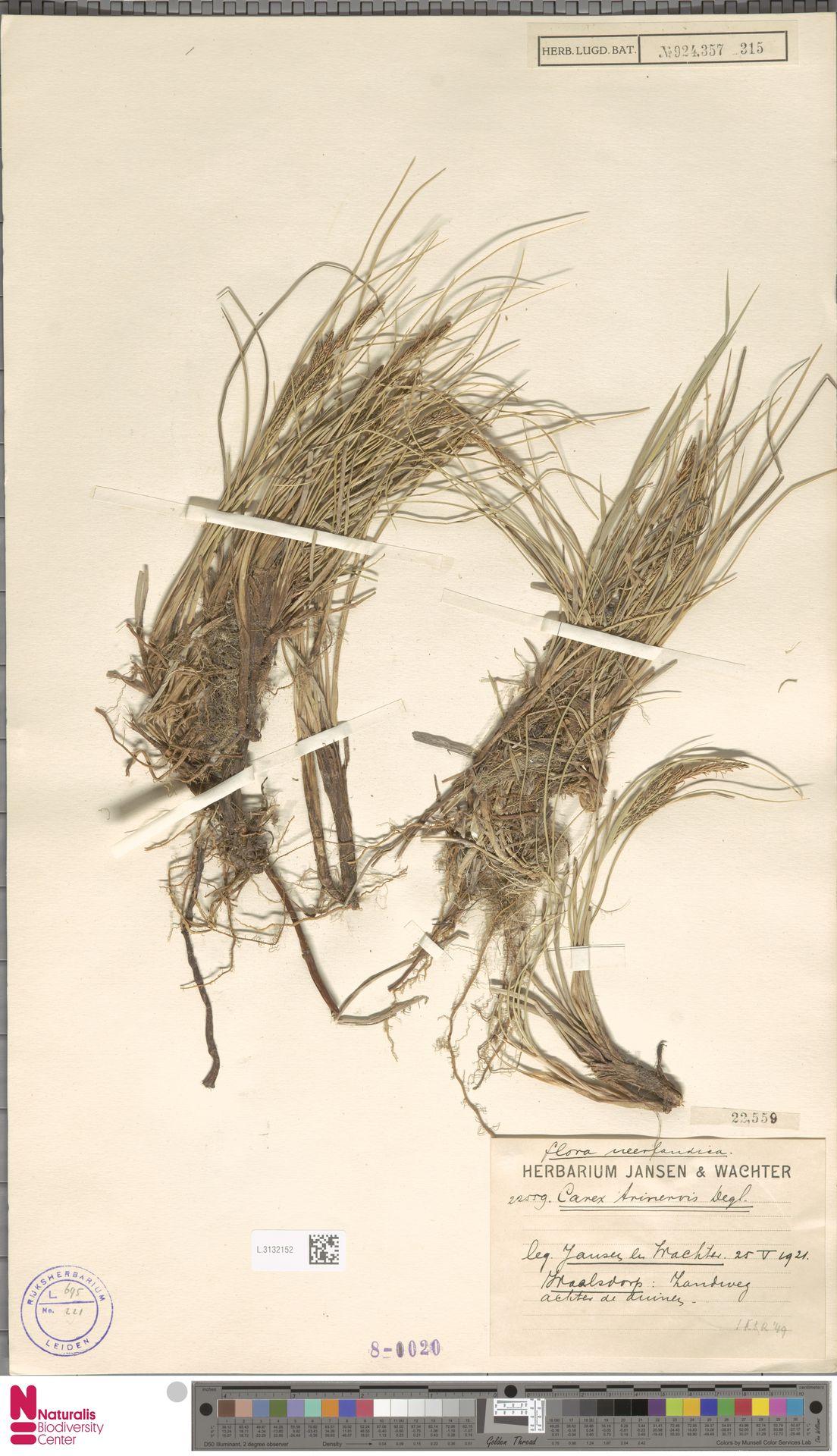 L.3132152 | Carex trinervis Degl.