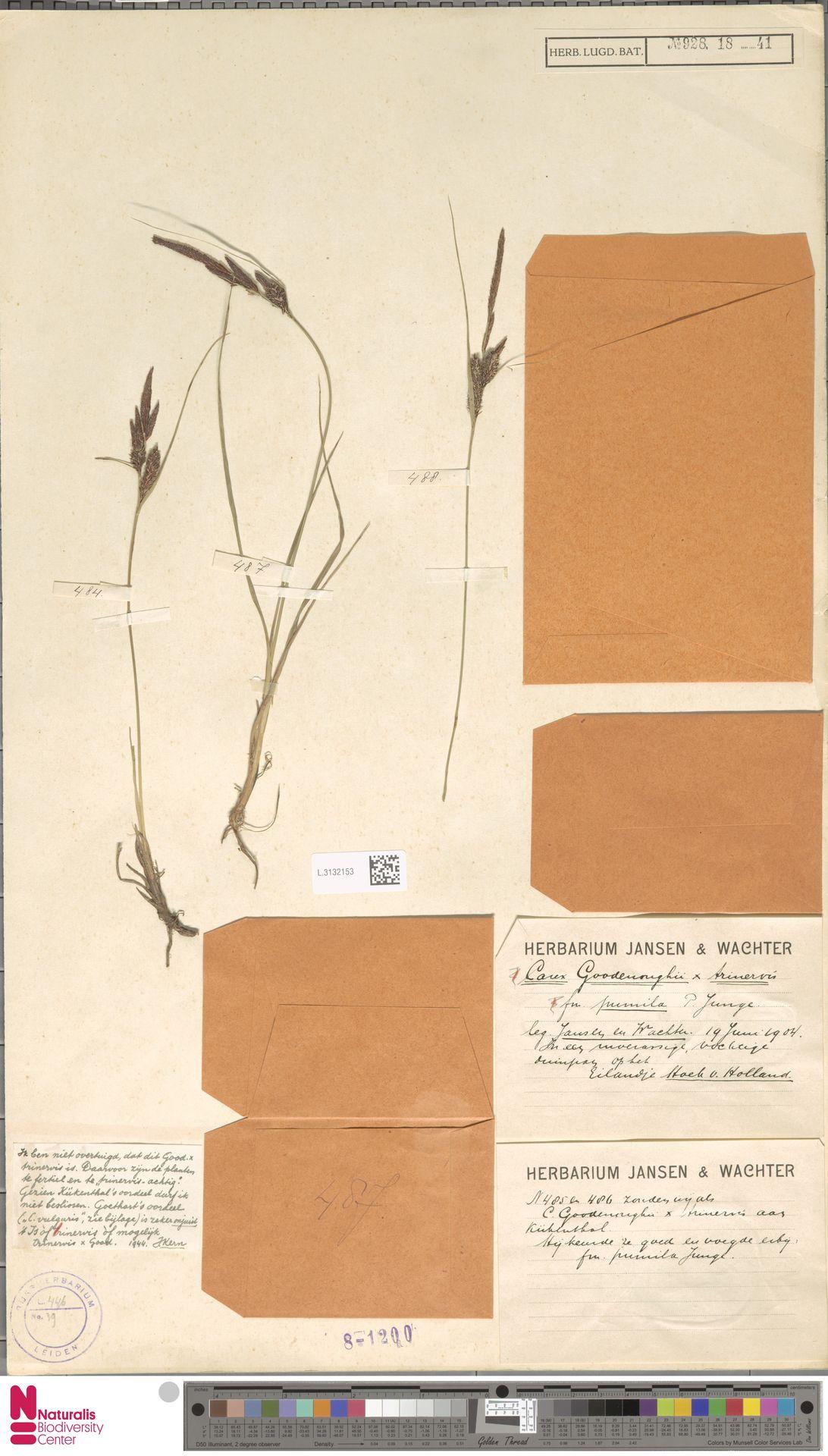 L.3132153 | Carex trinervis Degl.