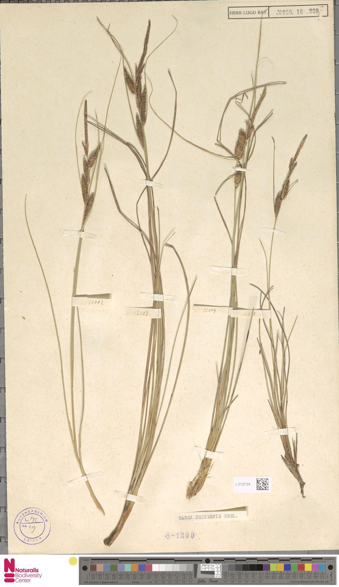 L.3132154 | Carex trinervis Degl.