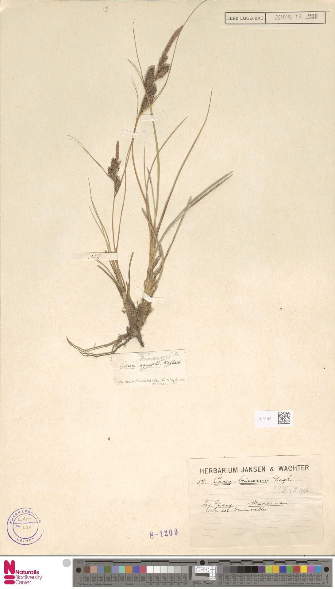L.3132162   Carex trinervis Degl.