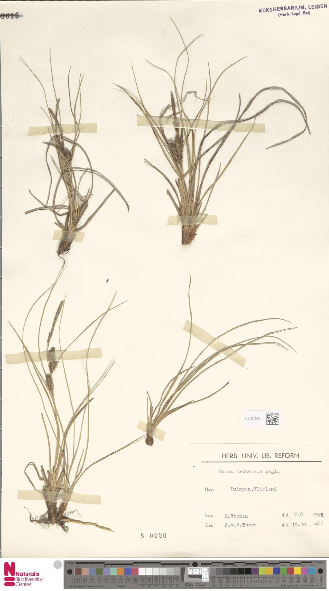 L.3132164   Carex trinervis Degl.