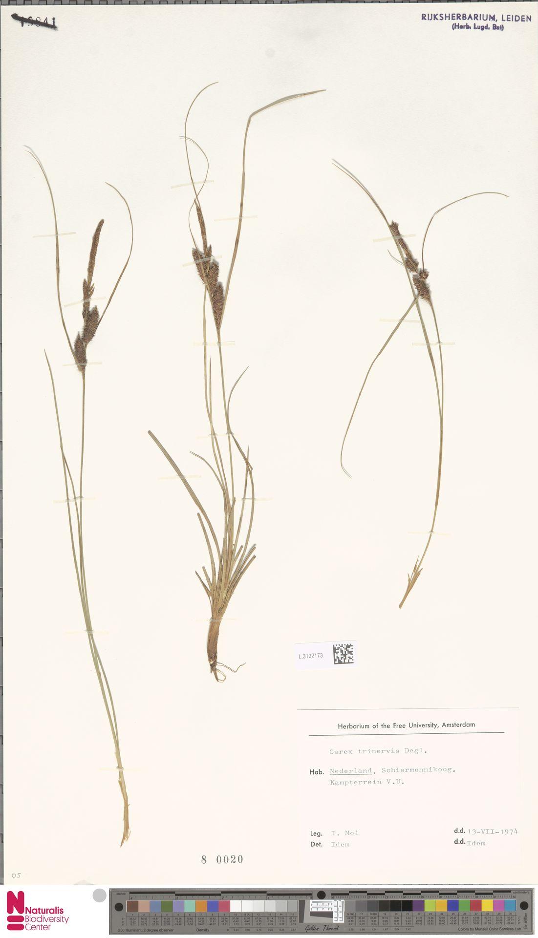 L.3132173 | Carex trinervis Degl.