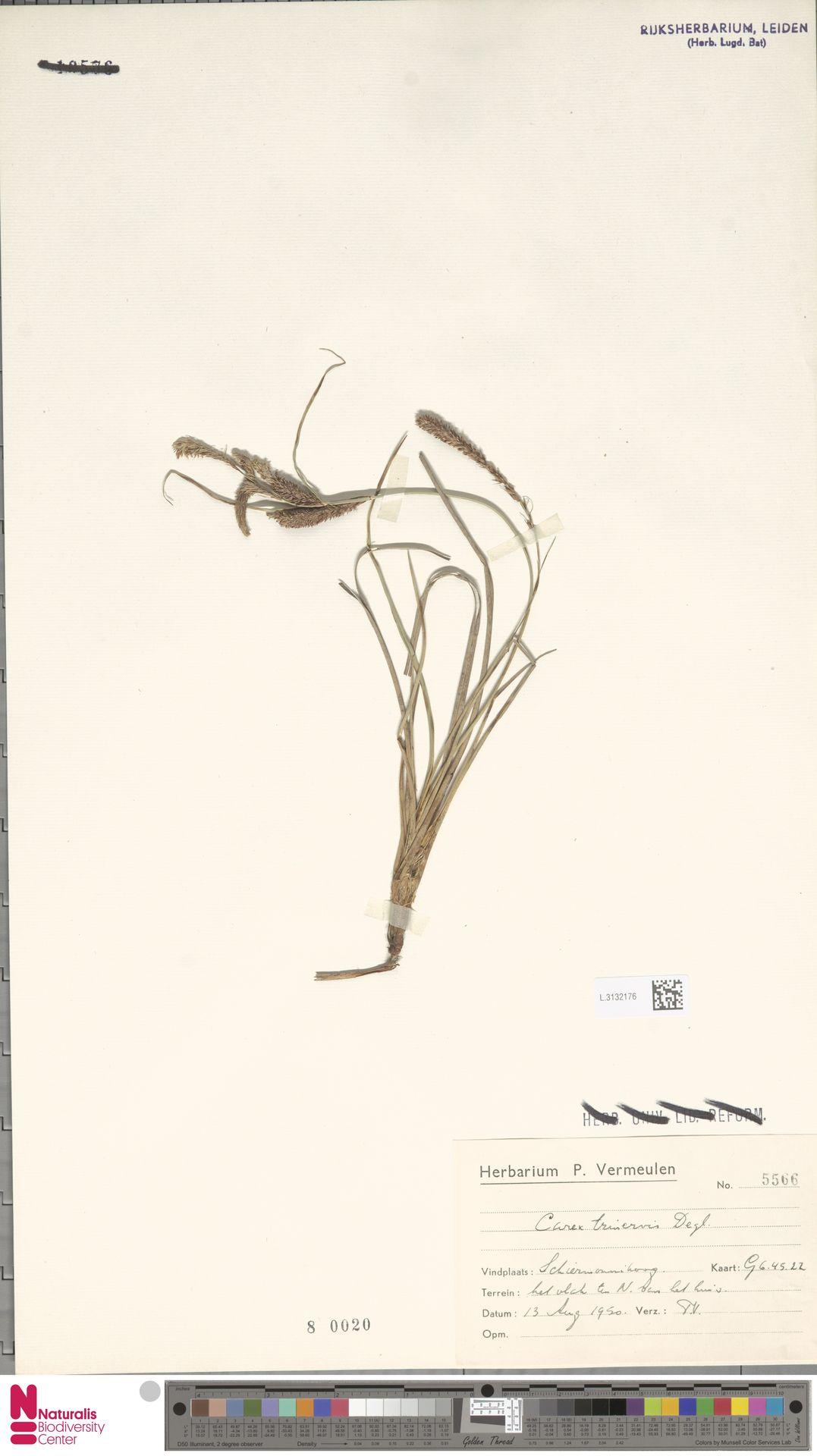 L.3132176 | Carex trinervis Degl.