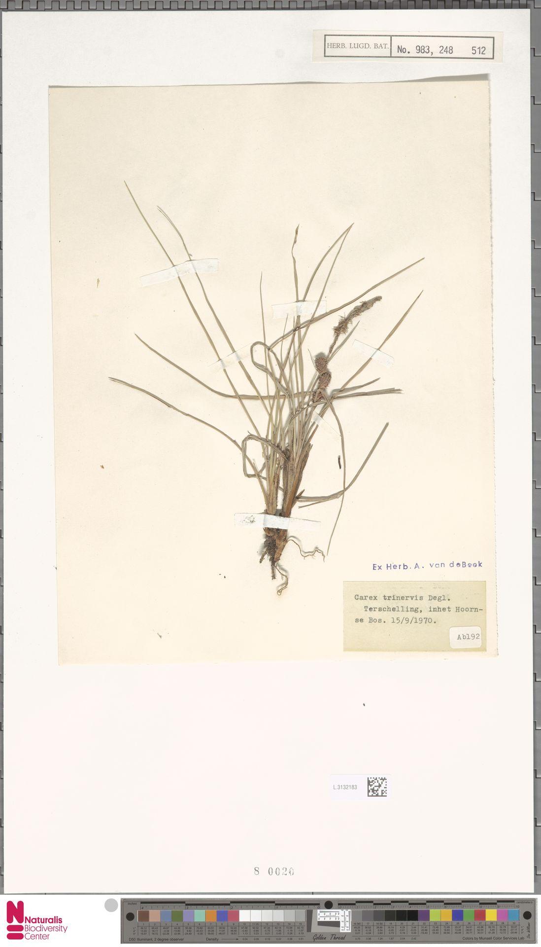 L.3132183 | Carex trinervis Degl.