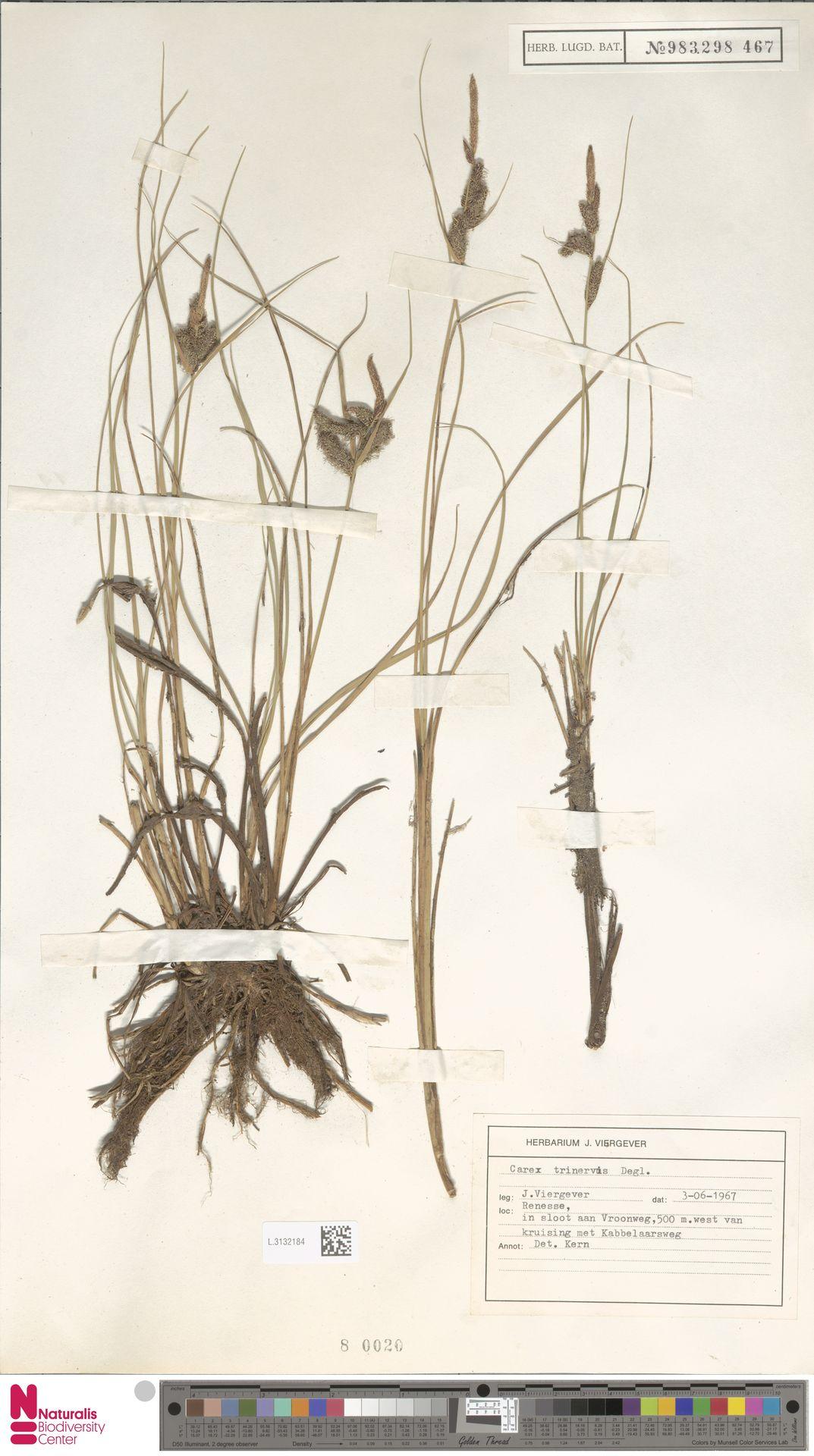L.3132184 | Carex trinervis Degl.