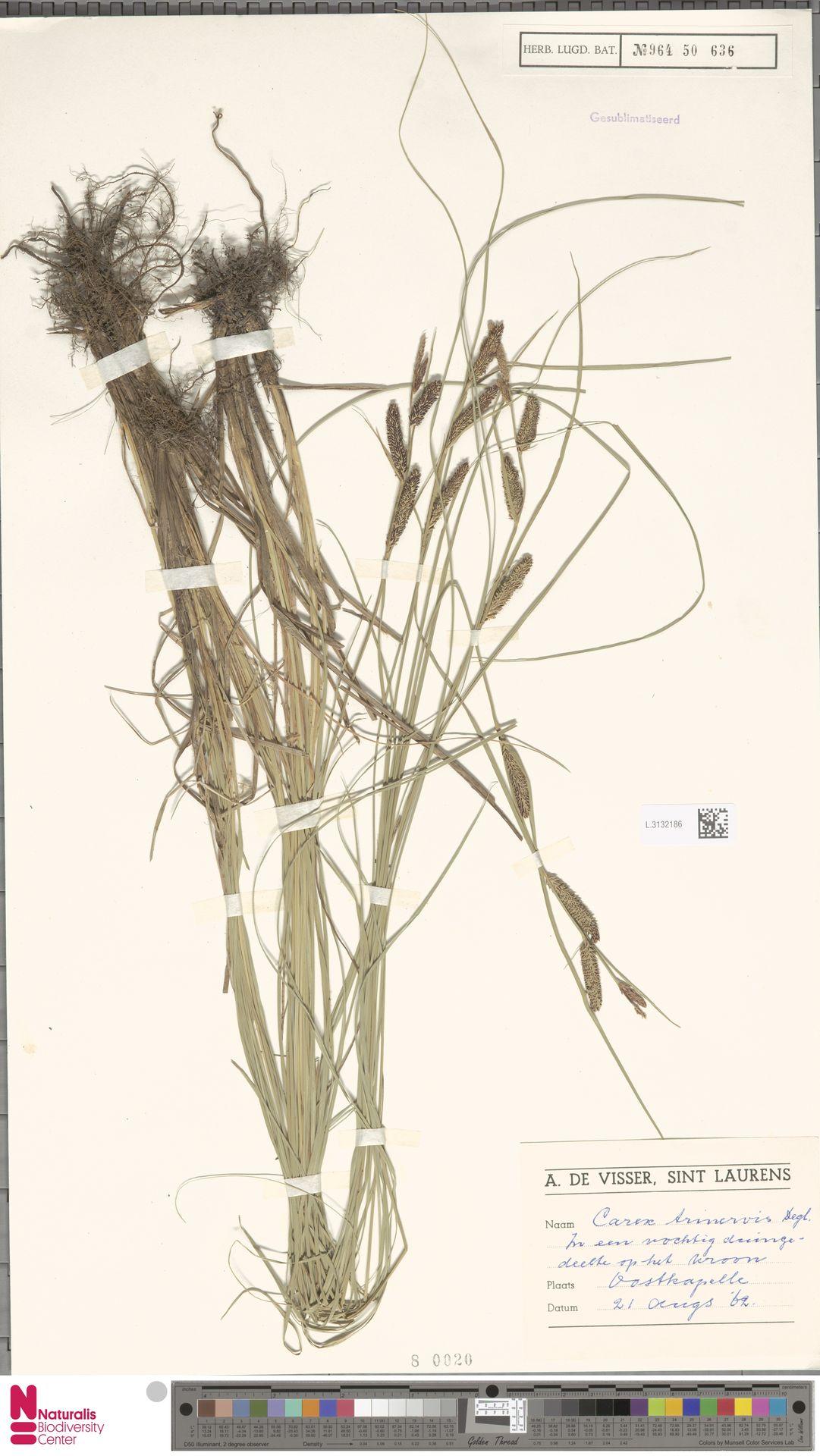L.3132186 | Carex trinervis Degl.