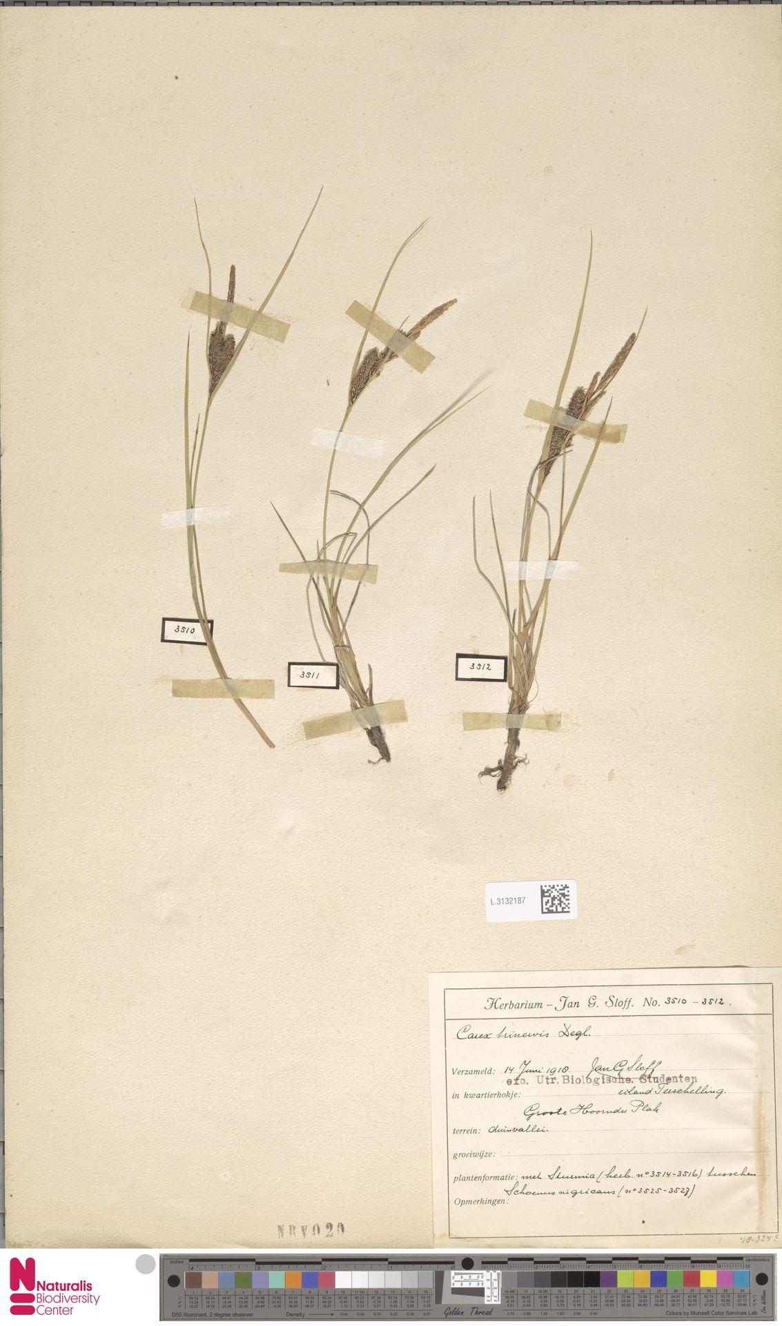 L.3132187 | Carex trinervis Degl.