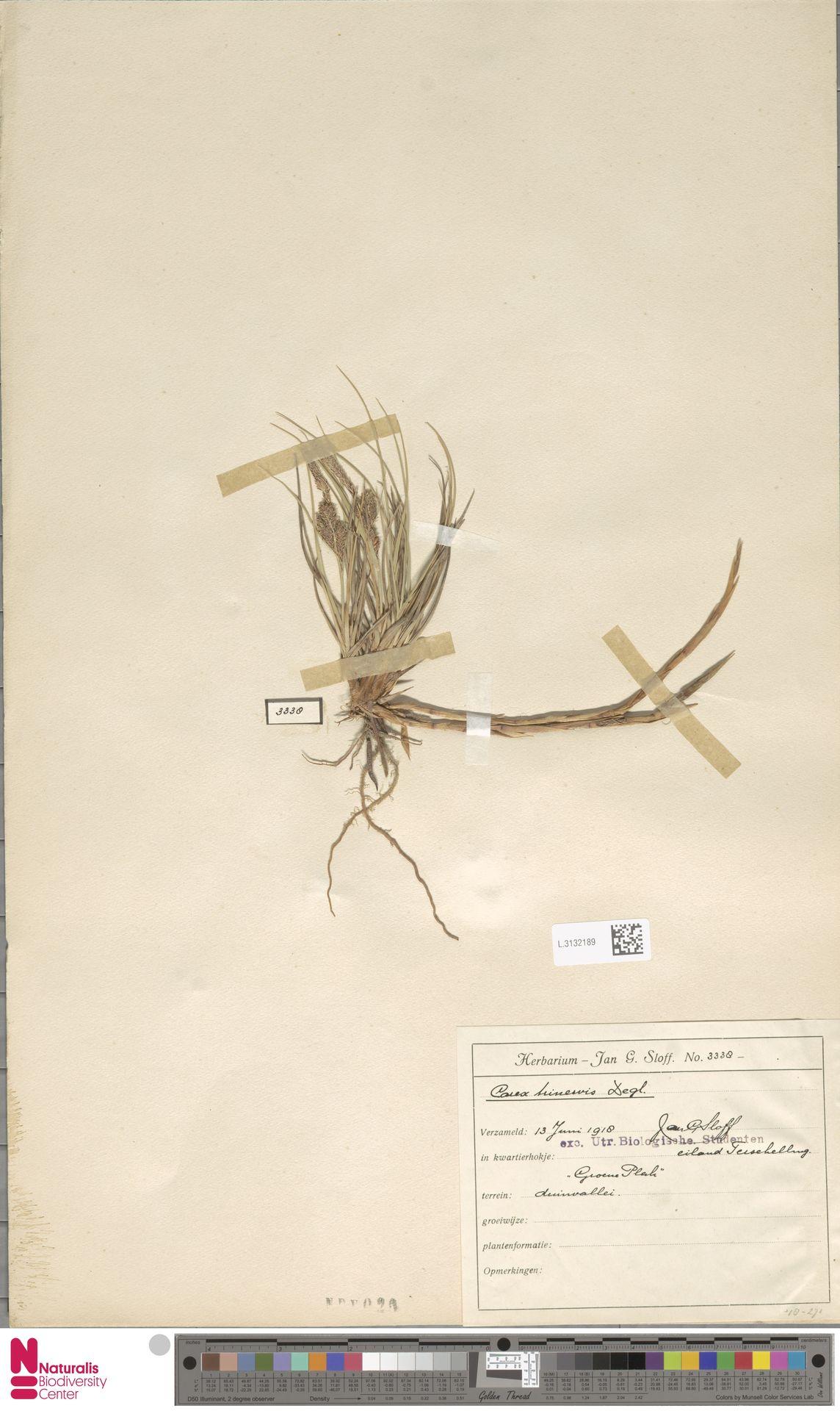 L.3132189 | Carex trinervis Degl.