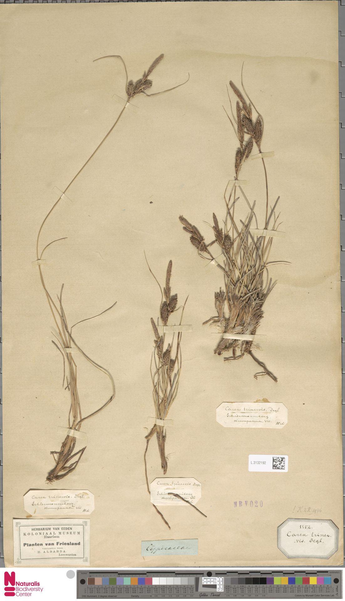 L.3132192 | Carex trinervis Degl.