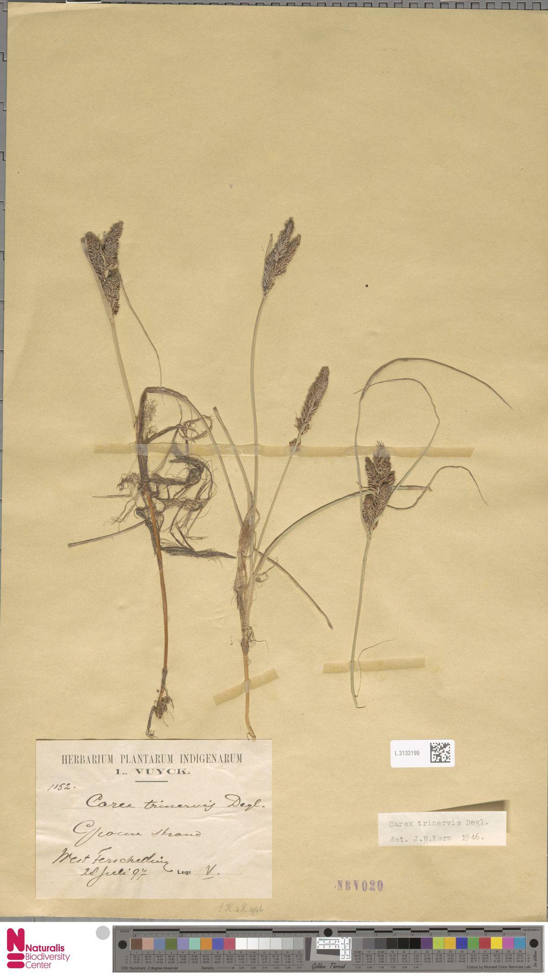 L.3132199 | Carex trinervis Degl.