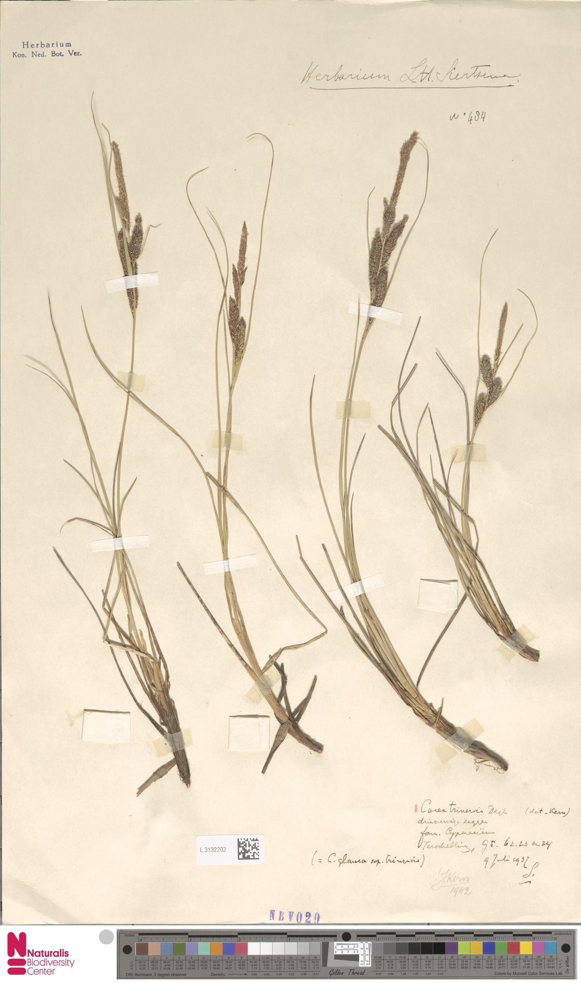 L.3132202   Carex trinervis Degl.