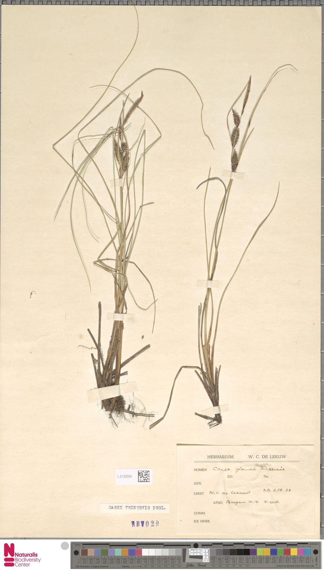 L.3132204 | Carex trinervis Degl.
