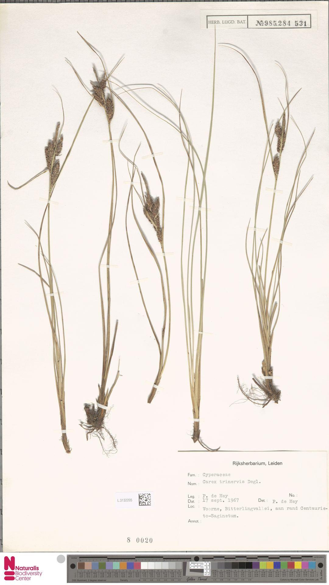 L.3132205 | Carex trinervis Degl.