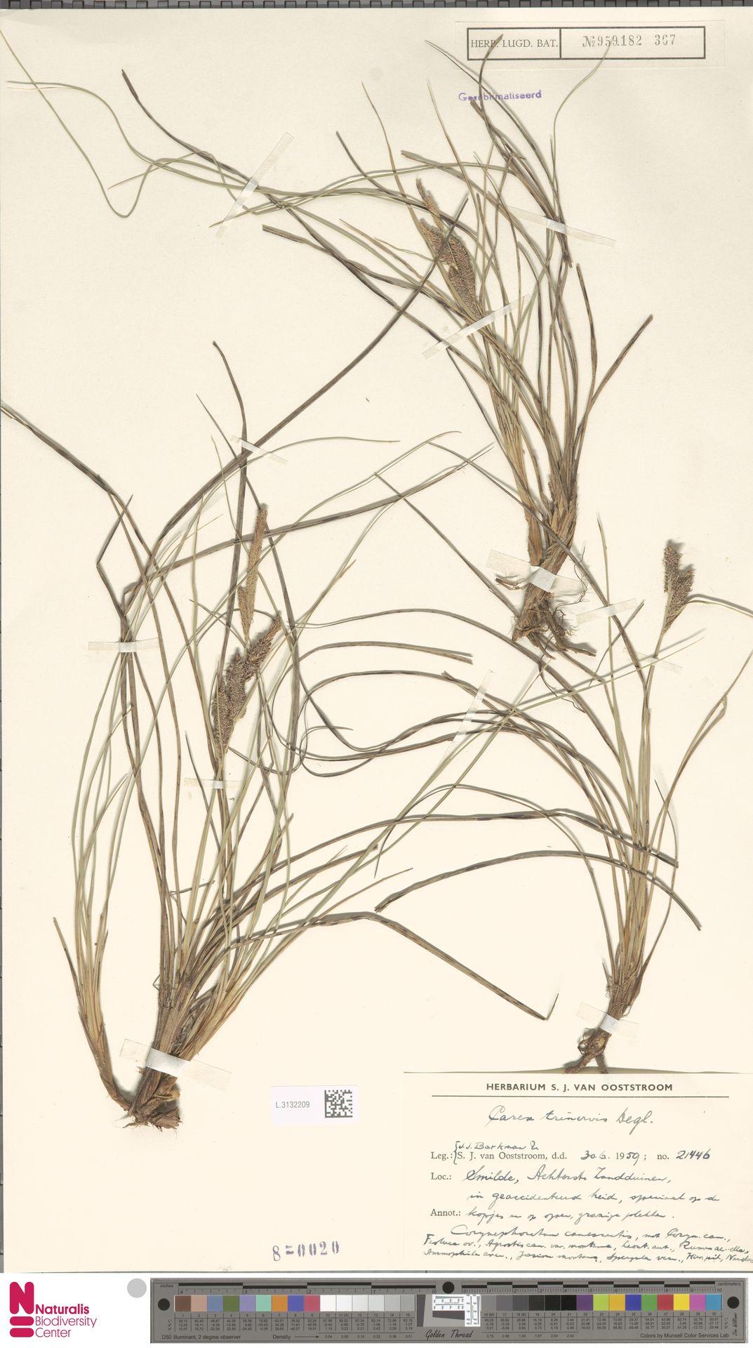 L.3132209 | Carex trinervis Degl.