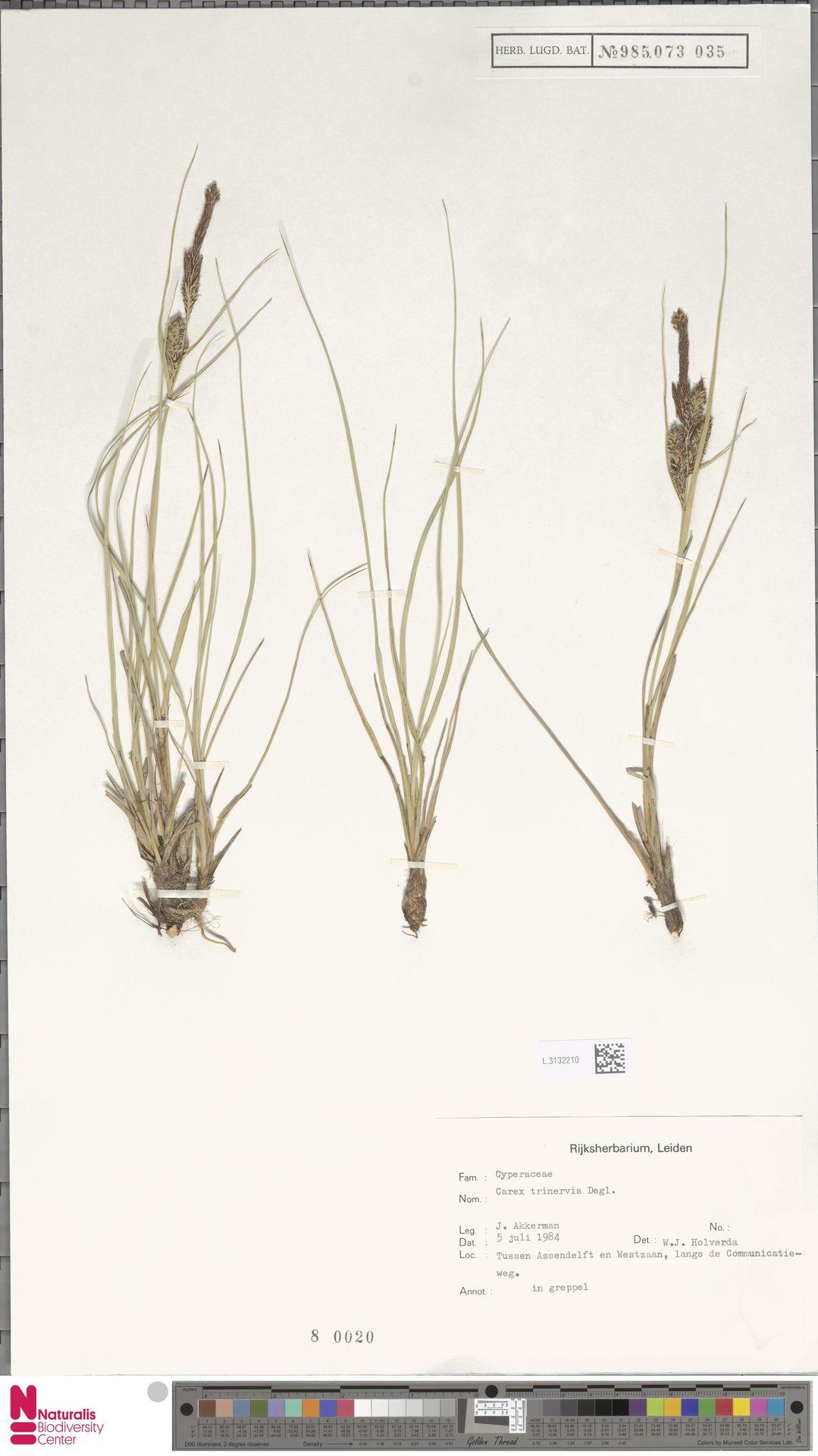 L.3132210 | Carex trinervis Degl.